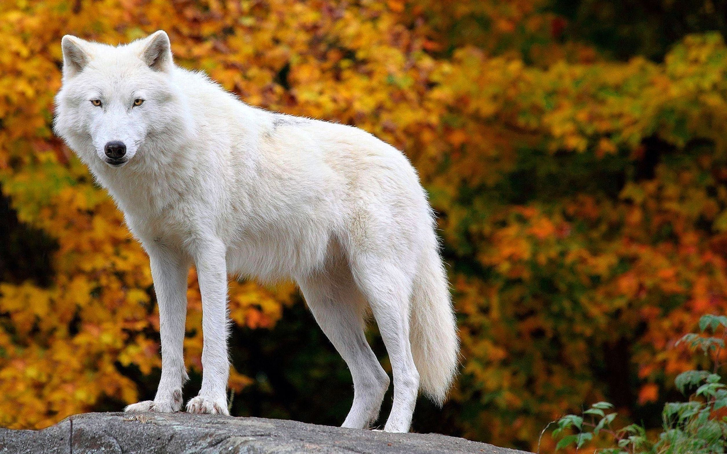 Arctic Wolf Wallpapers Top Free Arctic Wolf Backgrounds