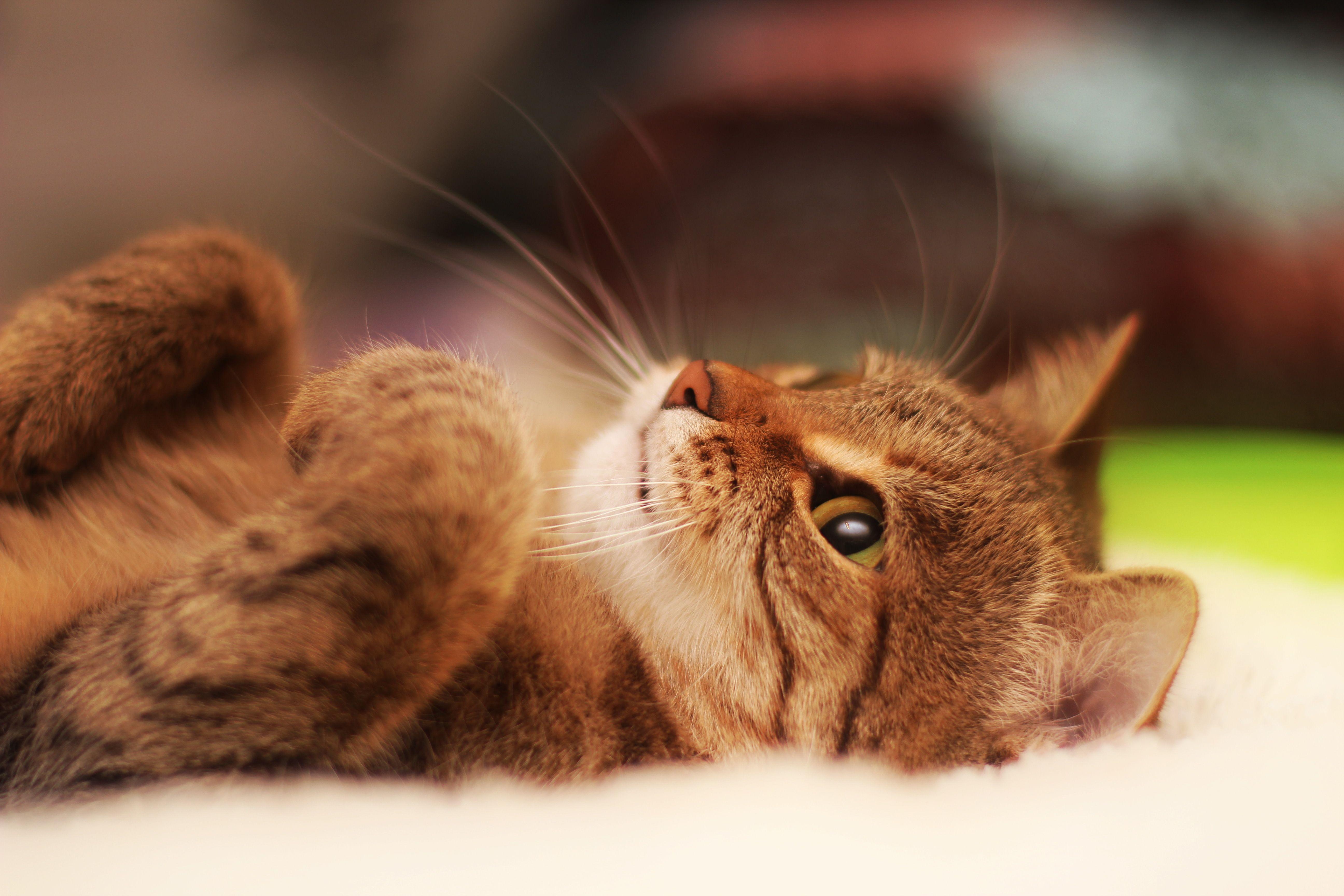 خلفية 5184x3456 4K Ultra HD Cat وصورة الخلفية