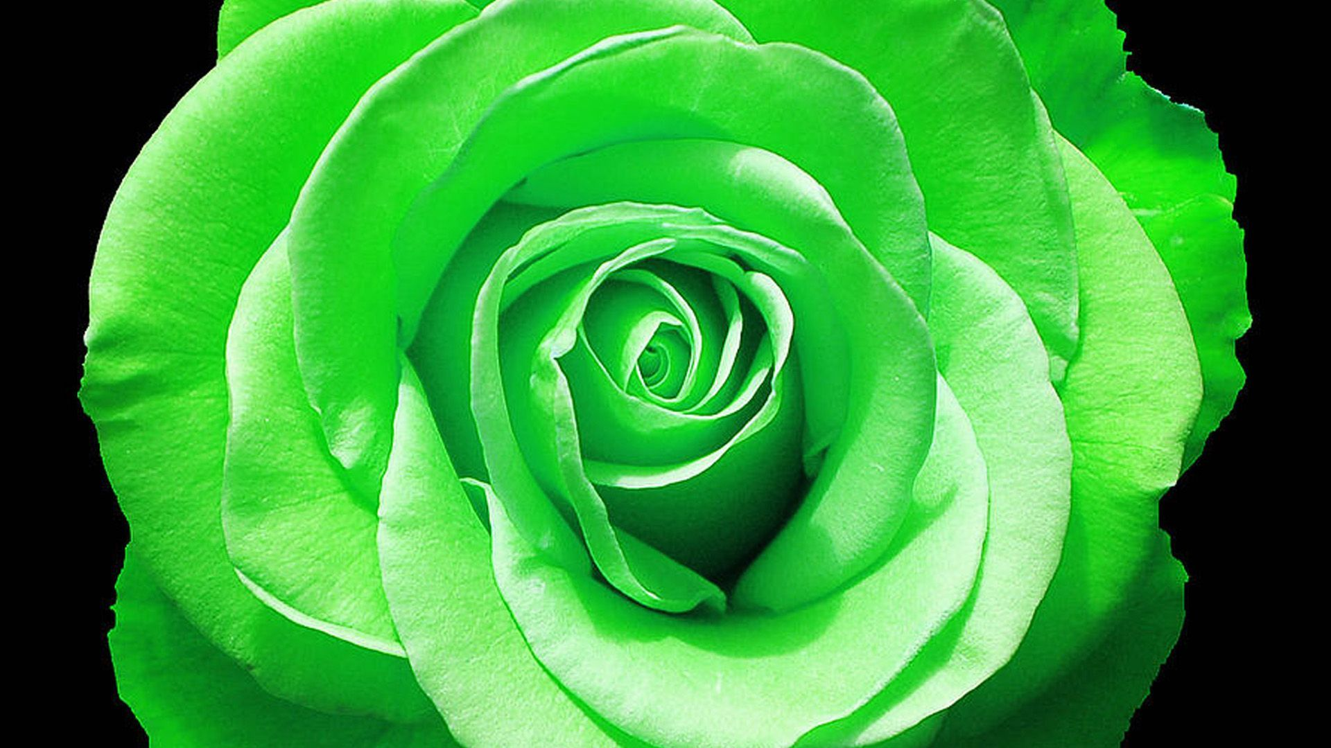Green Roses Wallpapers Top Free Green Roses Backgrounds Wallpaperaccess