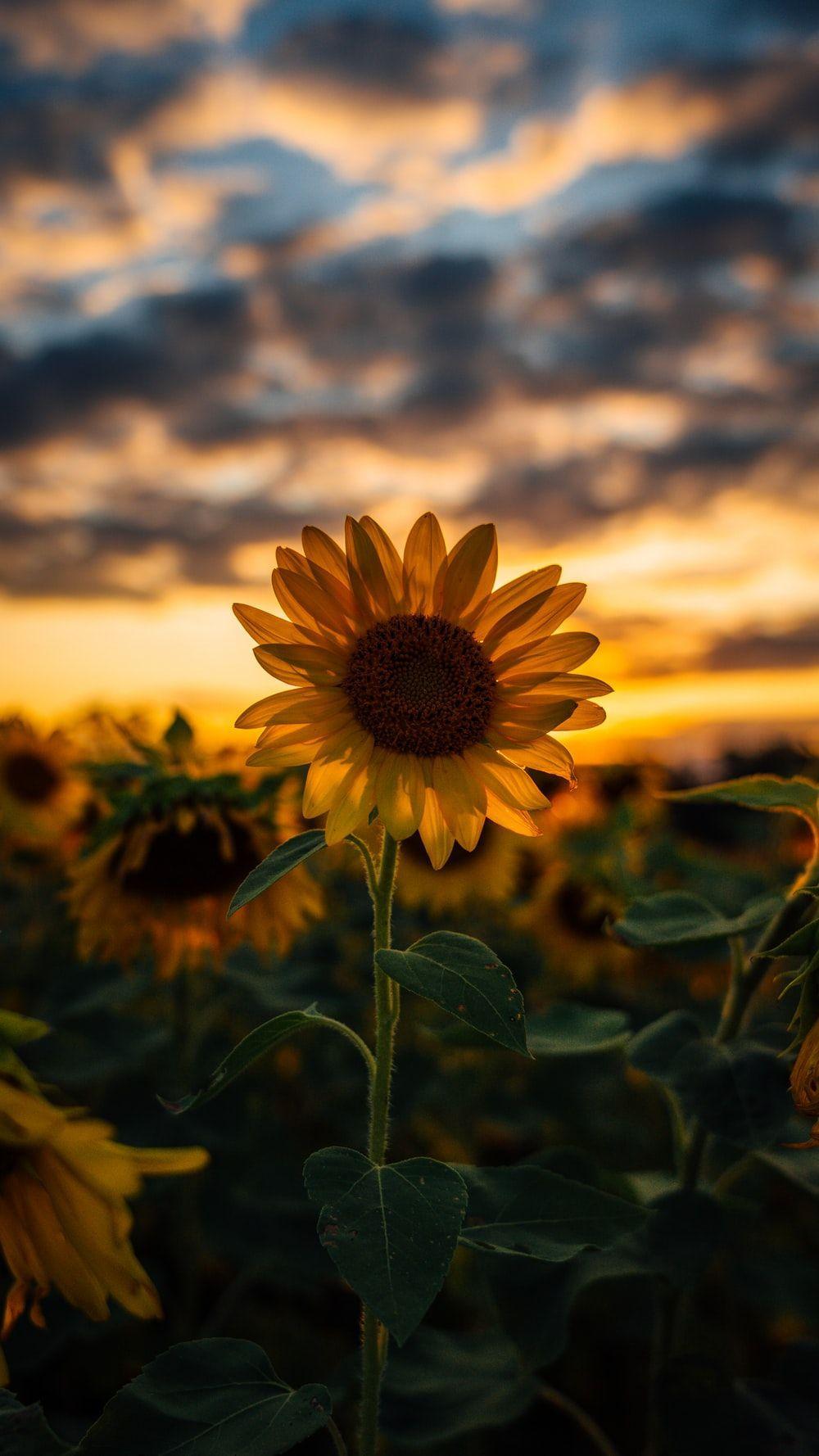 Cute Sunflower Wallpapers Top Free Cute Sunflower Backgrounds Wallpaperaccess