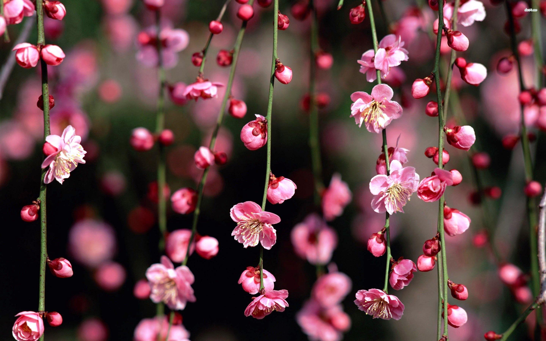 Download 50 Gambar Bunga Sakura Untuk Wallpaper Hp Terbaik