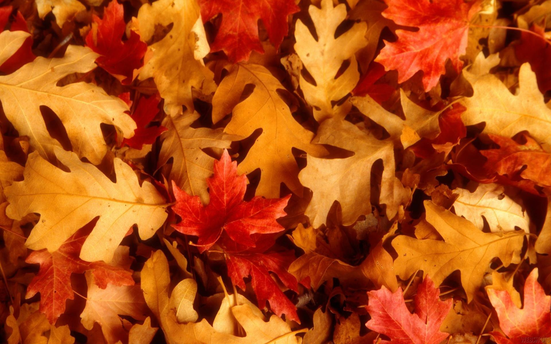 Thanksgiving Leaves Wallpapers Top Free Thanksgiving