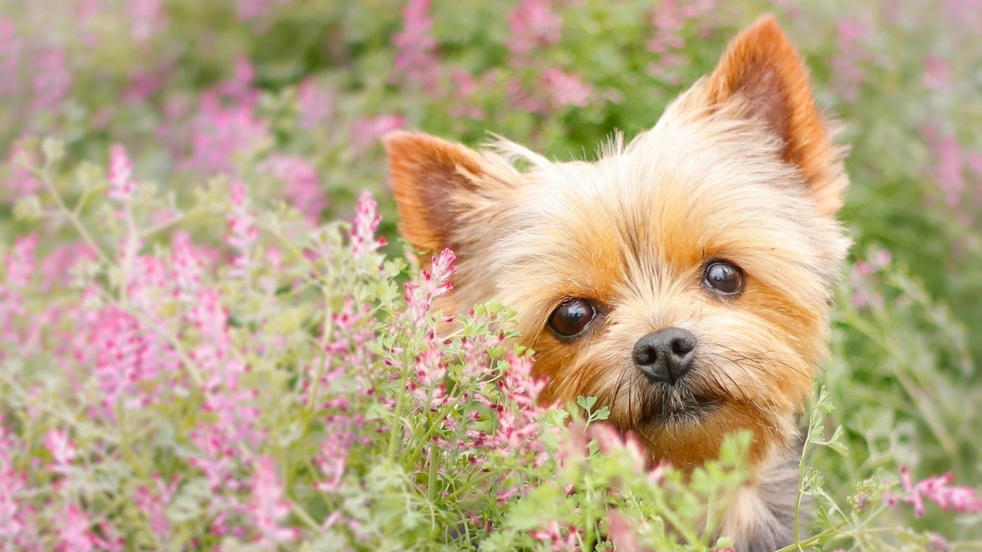 Yorkie Wallpapers Top Free Yorkie Backgrounds Wallpaperaccess