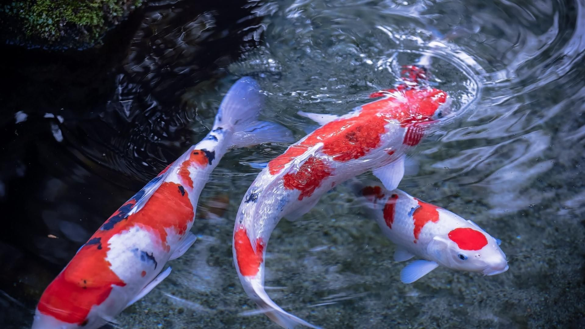 Japanese Koi Fish Pond Wallpapers Top Free Japanese Koi Fish Pond Backgrounds Wallpaperaccess