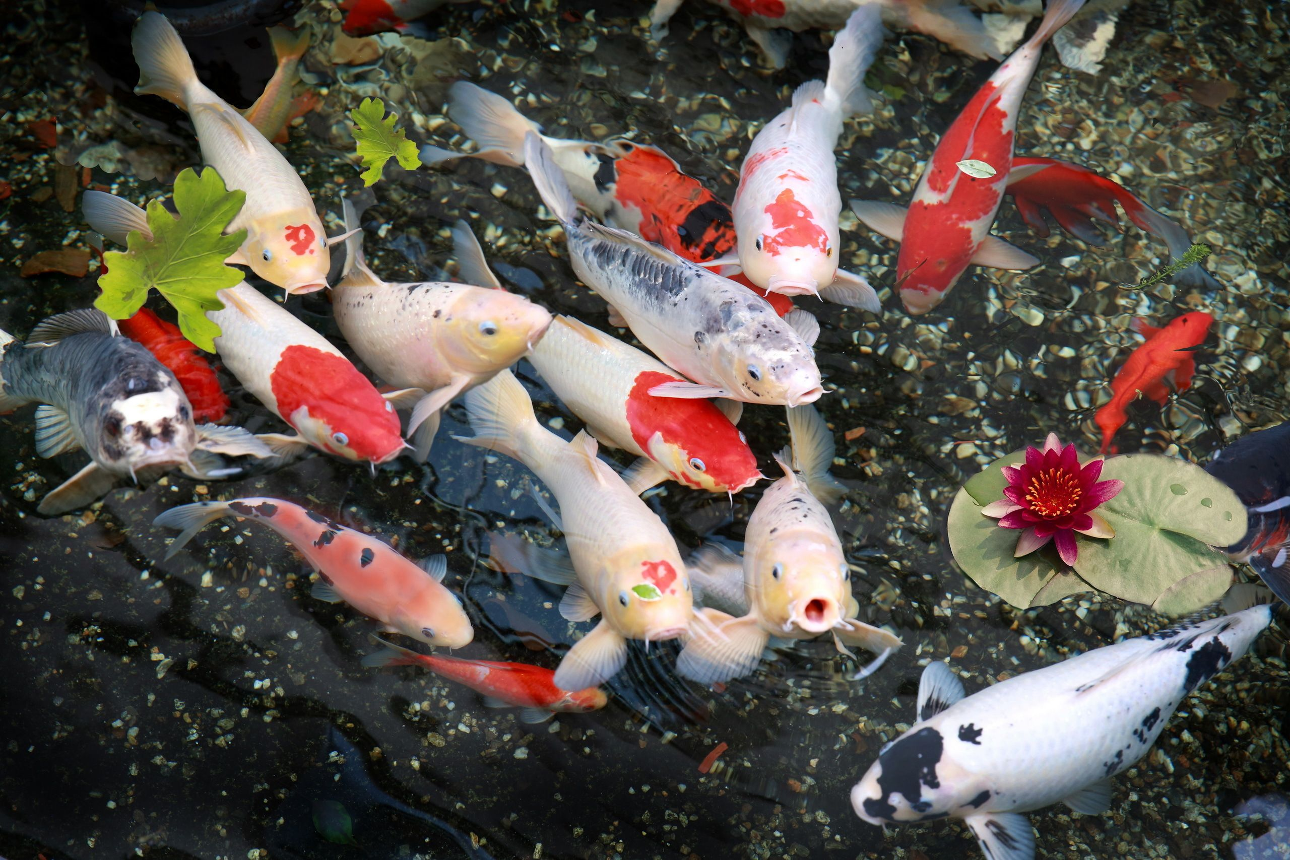 Koi Fish Pond Wallpapers Top Free Koi Fish Pond Backgrounds Wallpaperaccess