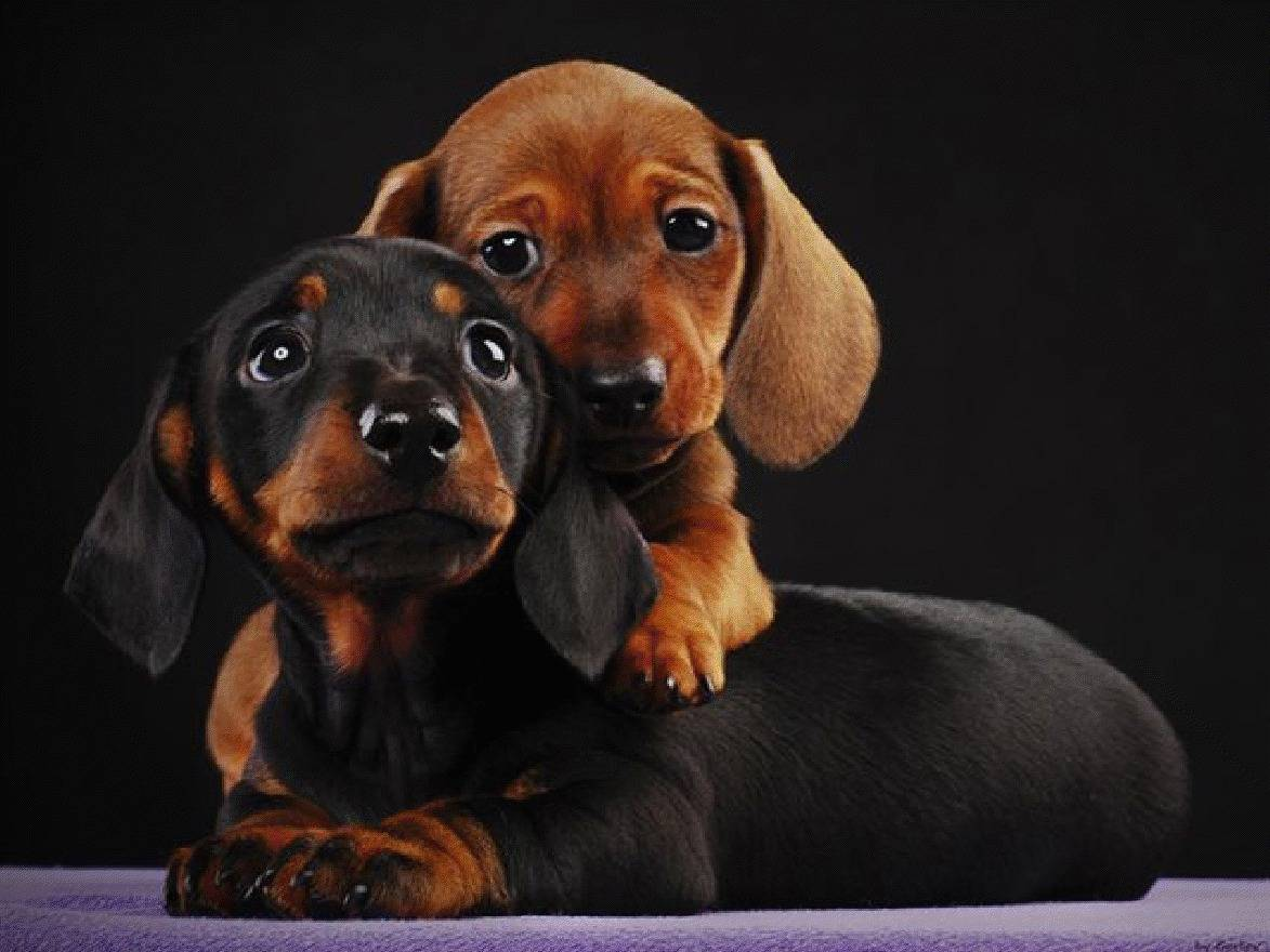 Wiener Dog Wallpapers Top Free Wiener Dog Backgrounds Wallpaperaccess