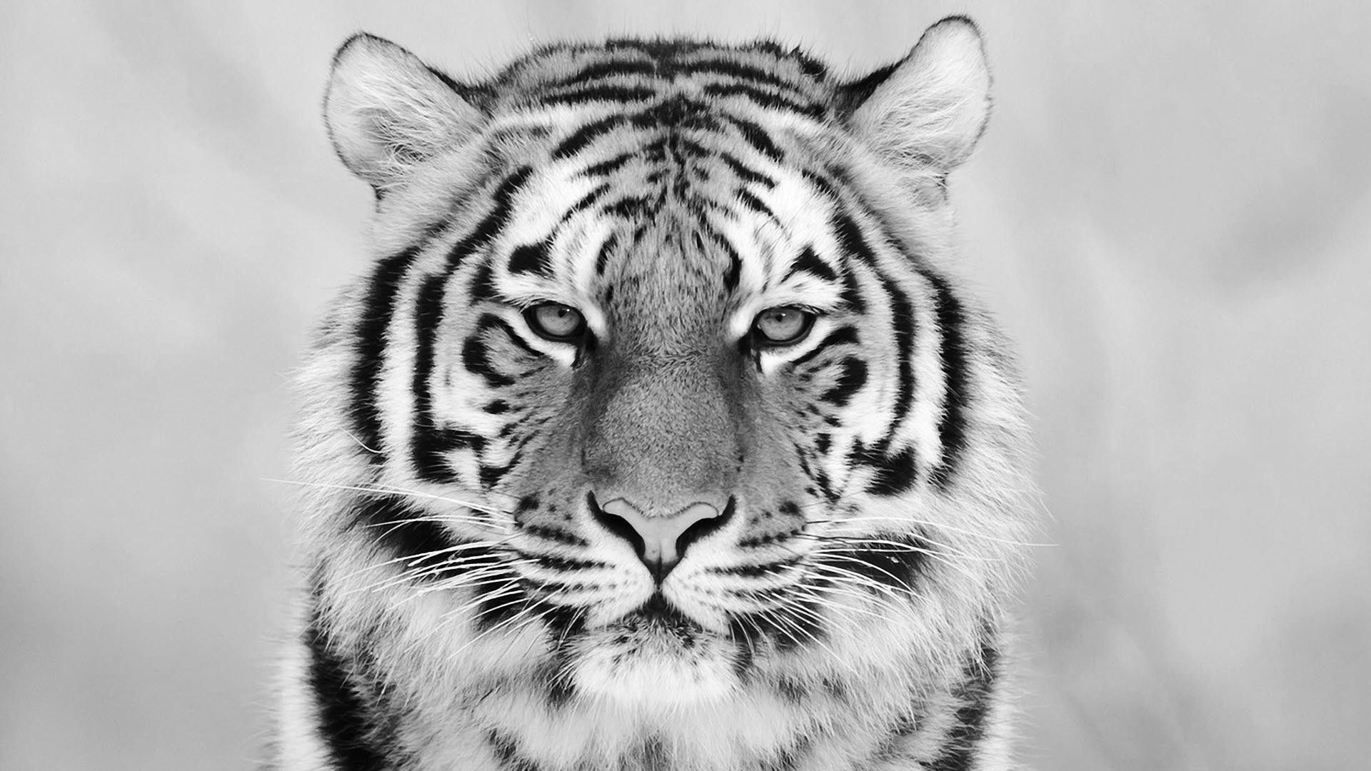 Tiger Black And White Wallpapers Top Free Tiger Black And White Backgrounds Wallpaperaccess