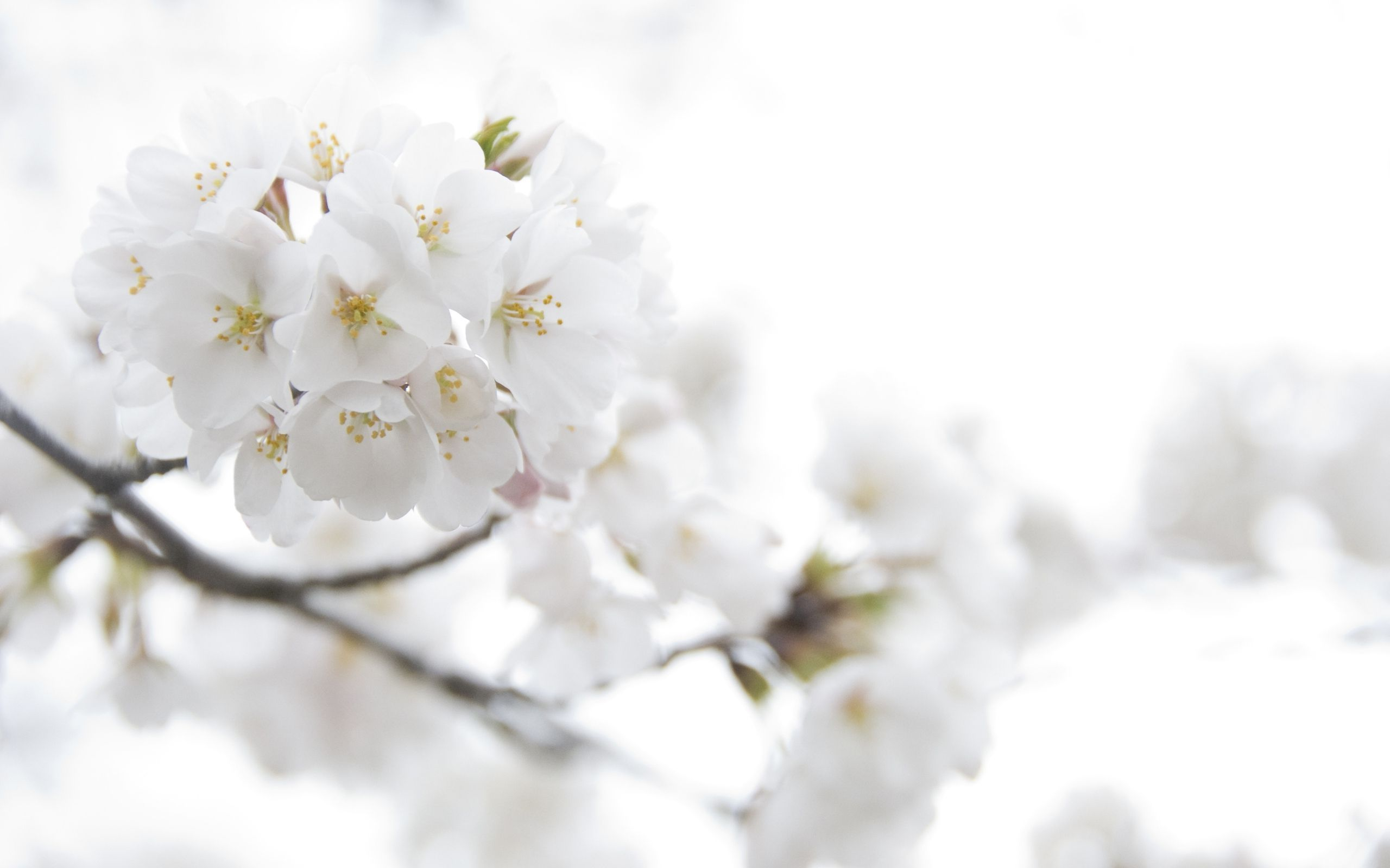 63 Best Free Cherry Blossom Yellow Wallpapers Wallpaperaccess