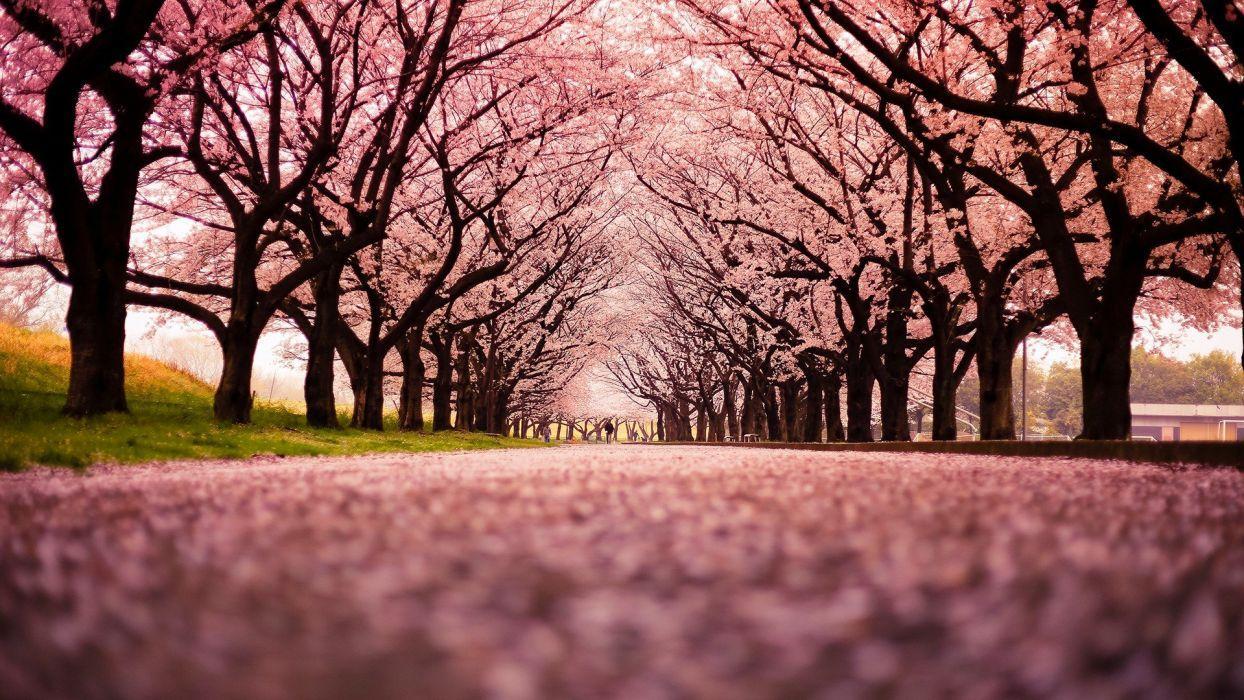 Japan Tree Wallpapers Top Free Japan Tree Backgrounds