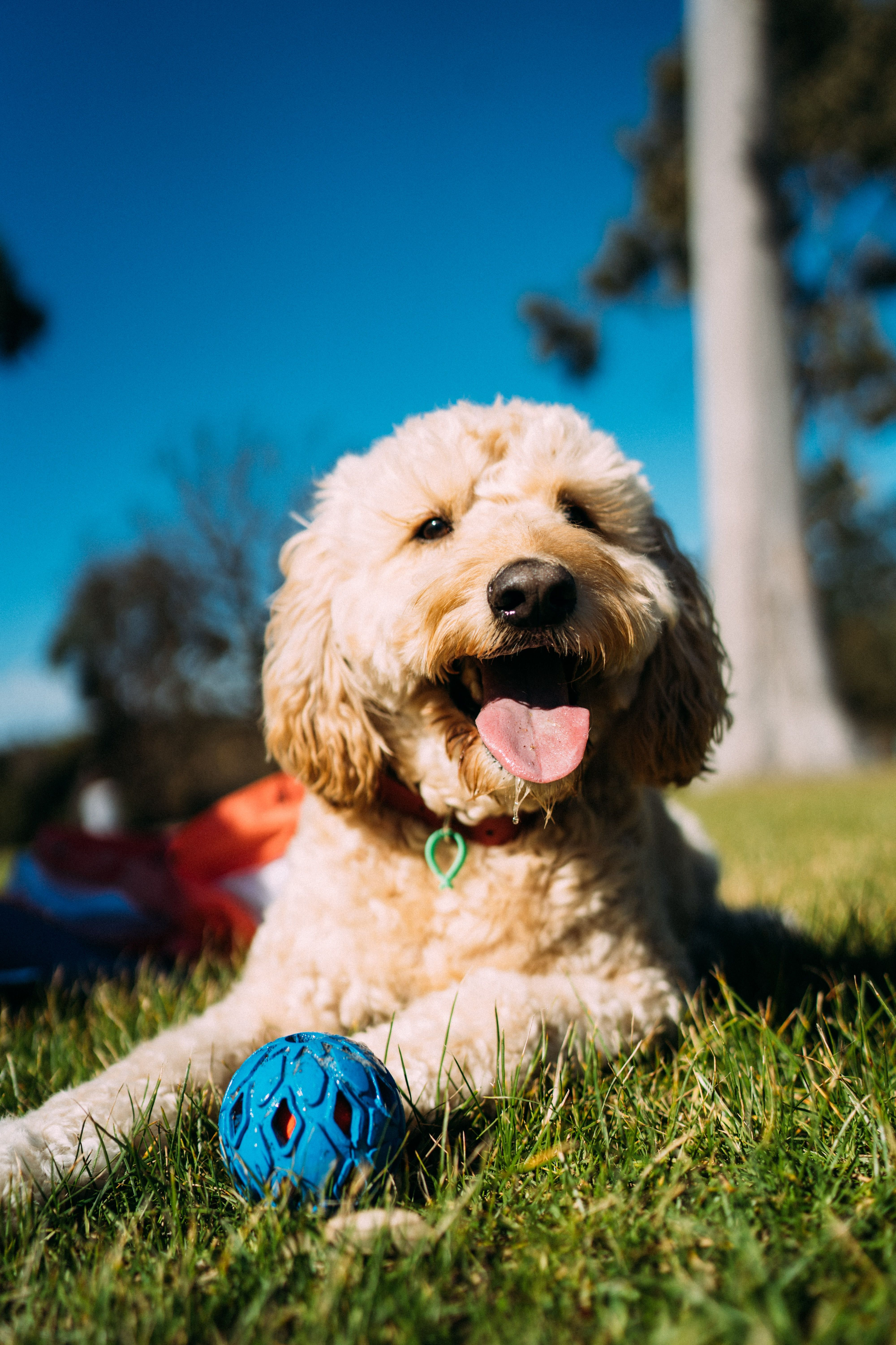 Goldendoodle Wallpapers Top Free Goldendoodle Backgrounds Wallpaperaccess