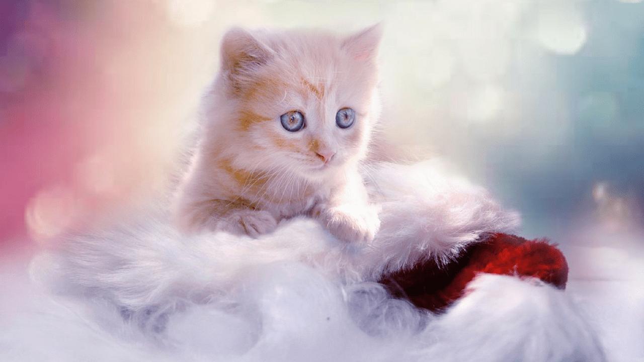 Beautiful Cat Wallpapers Top Free Beautiful Cat Backgrounds Wallpaperaccess