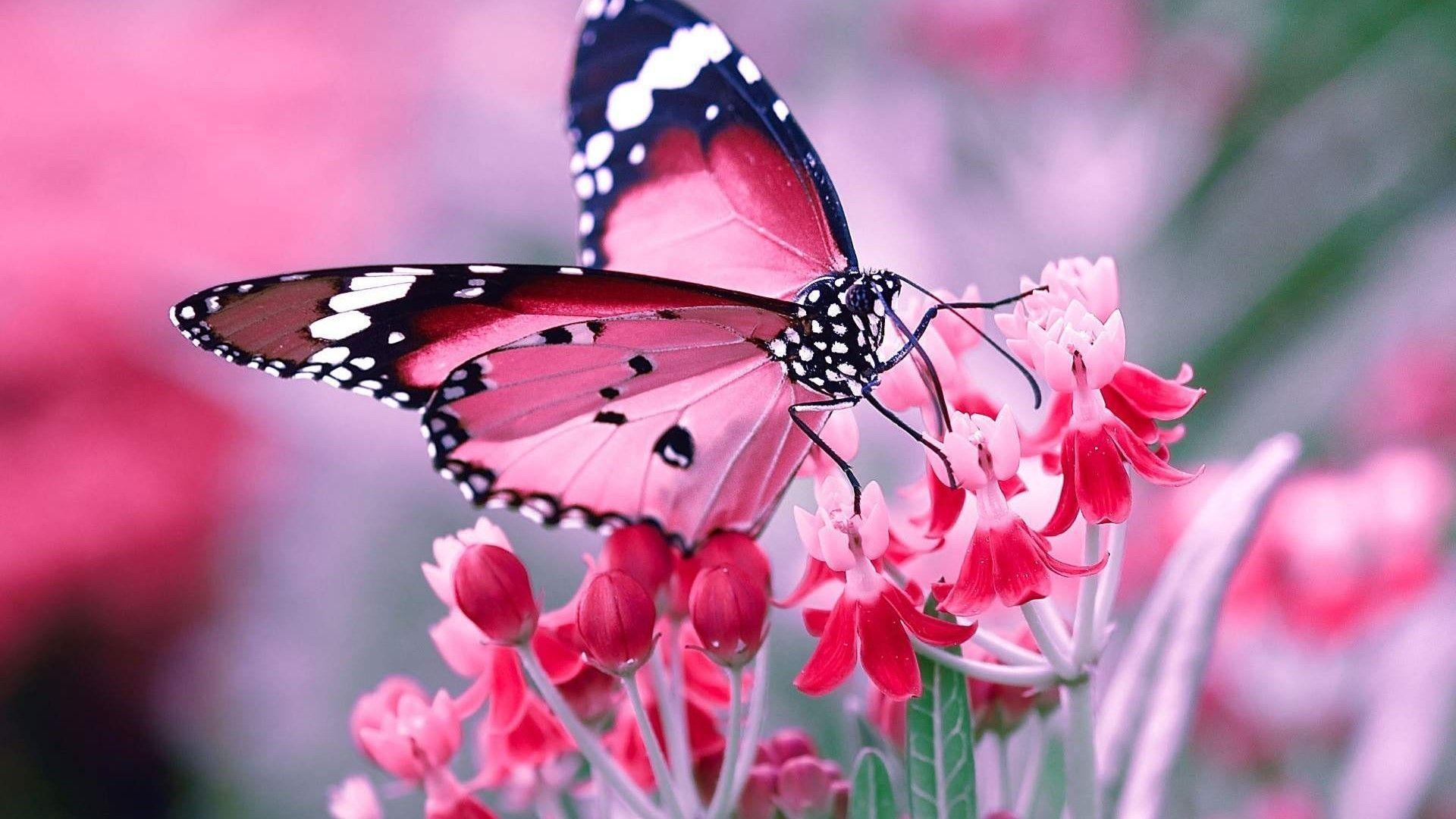 Pink Butterfly Desktop Wallpapers Top Free Pink Butterfly Desktop Backgrounds Wallpaperaccess pink butterfly desktop wallpapers top