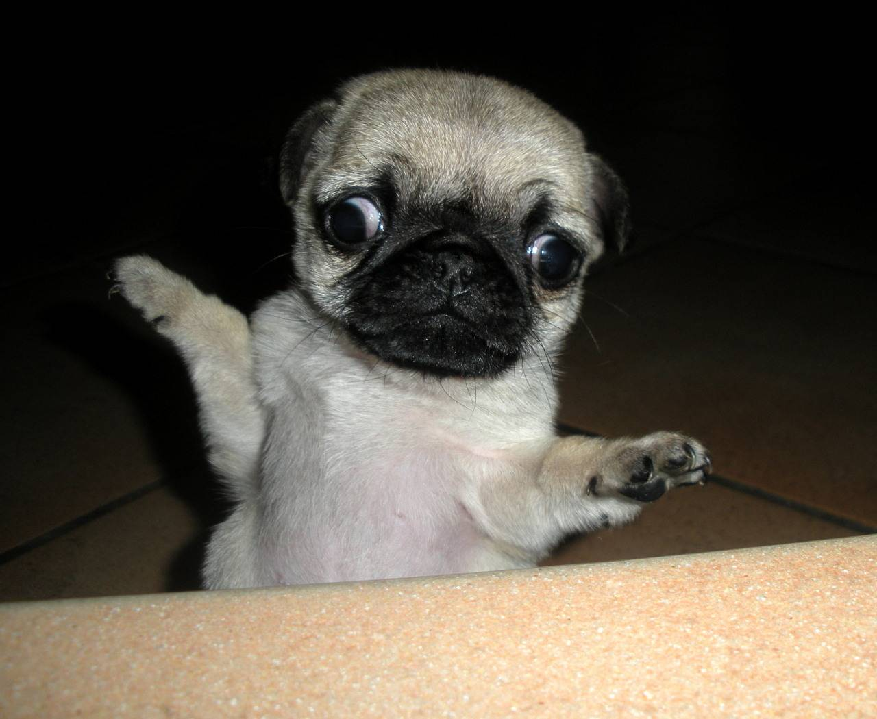 Baby Pugs Wallpapers Top Free Baby Pugs Backgrounds Wallpaperaccess