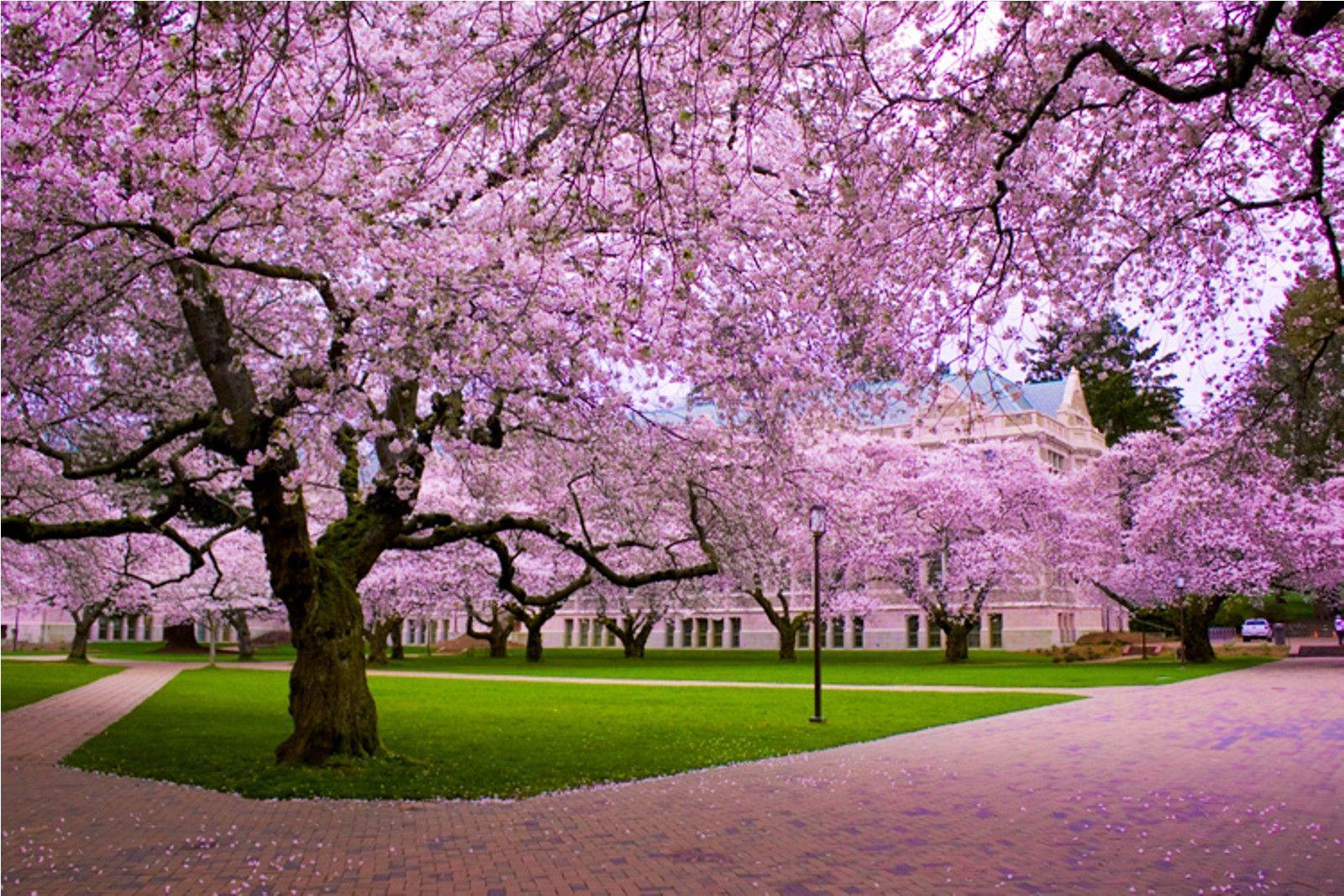 53 Best Free Washington Cherry Trees Wallpapers Wallpaperaccess