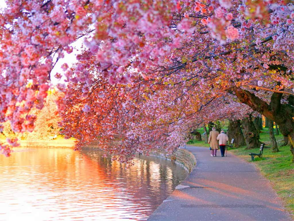 Cherry Blossom Festival Wallpapers Top Free Cherry Blossom Festival Backgrounds Wallpaperaccess