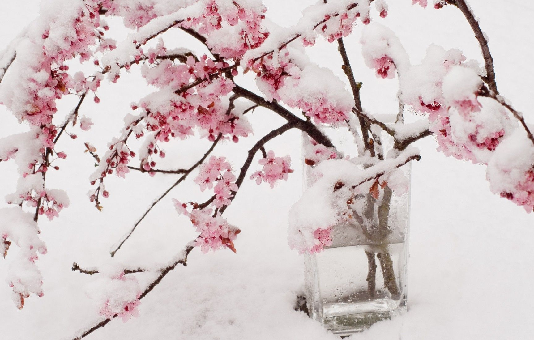 Cherry Blossom Snow Wallpapers Top Free Cherry Blossom