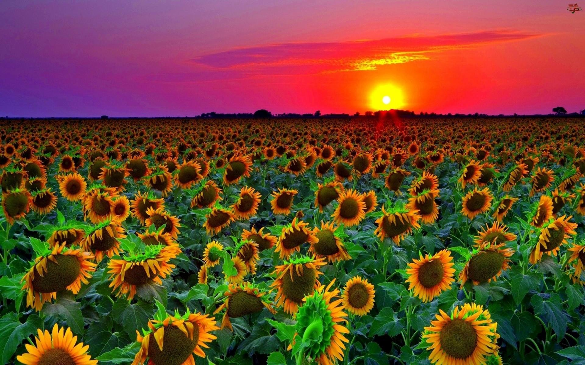 Sunflower Sunset Laptop Wallpapers Top Free Sunflower Sunset Laptop Backgrounds Wallpaperaccess