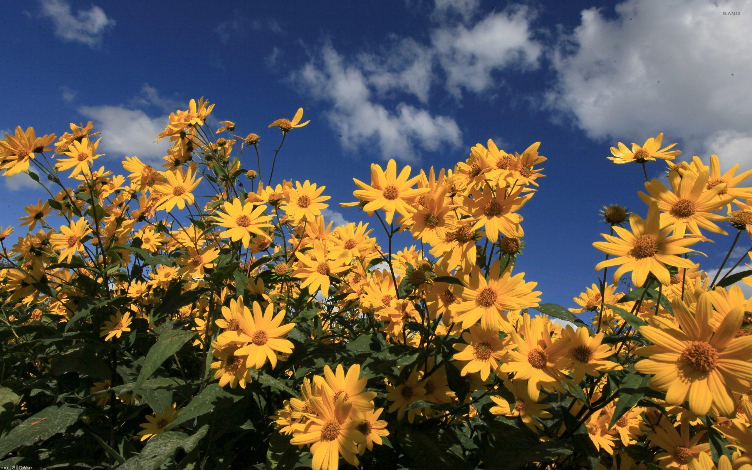 Yellow Daisy Flower Desktop Wallpapers ...