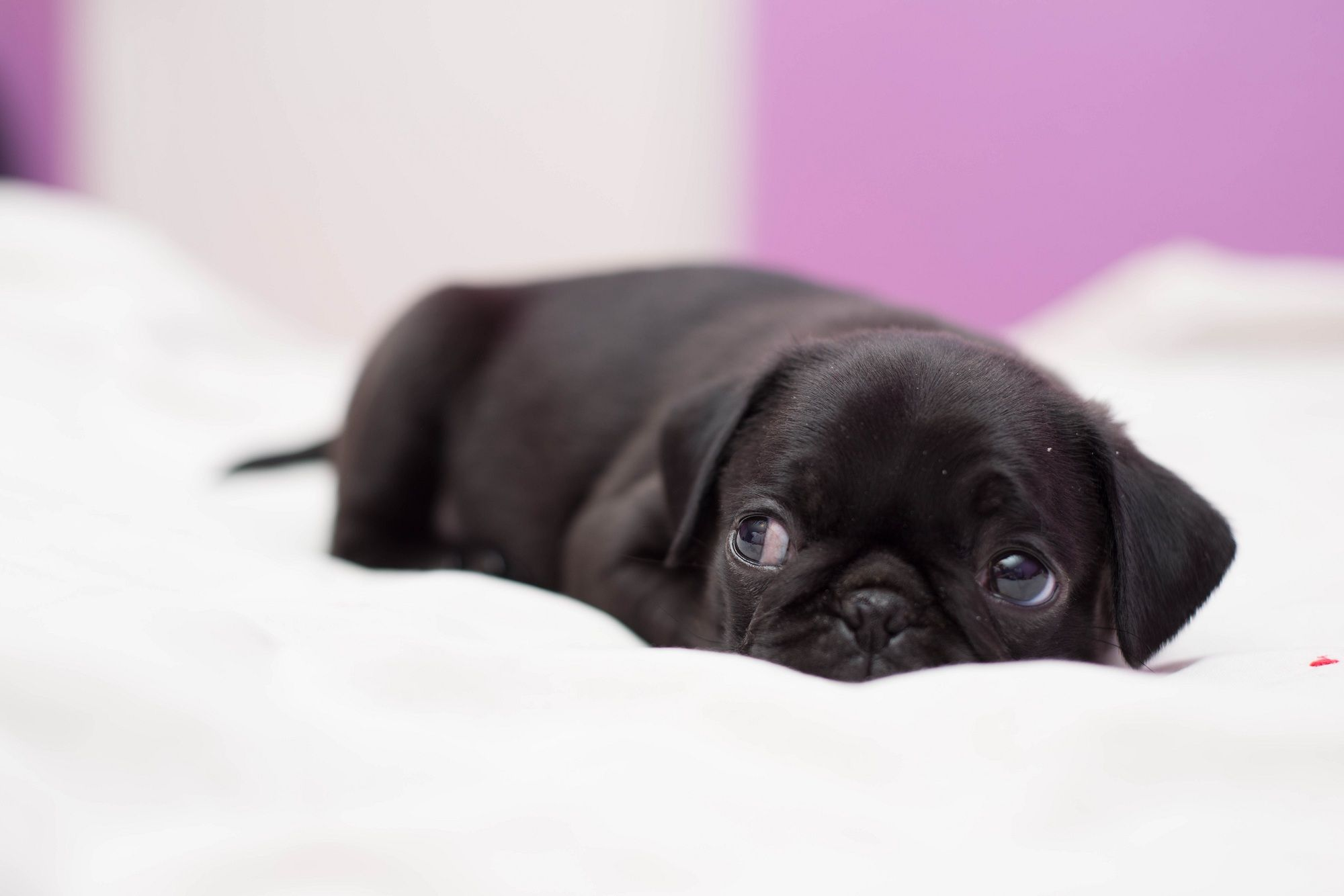 Black Pug Wallpapers Top Free Black Pug Backgrounds Wallpaperaccess