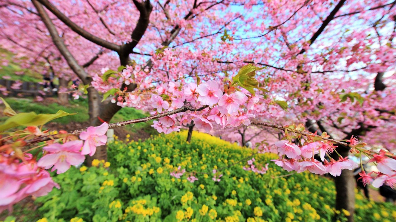 Japanese Cherry Blossom Tree Wallpapers - Top Free ...