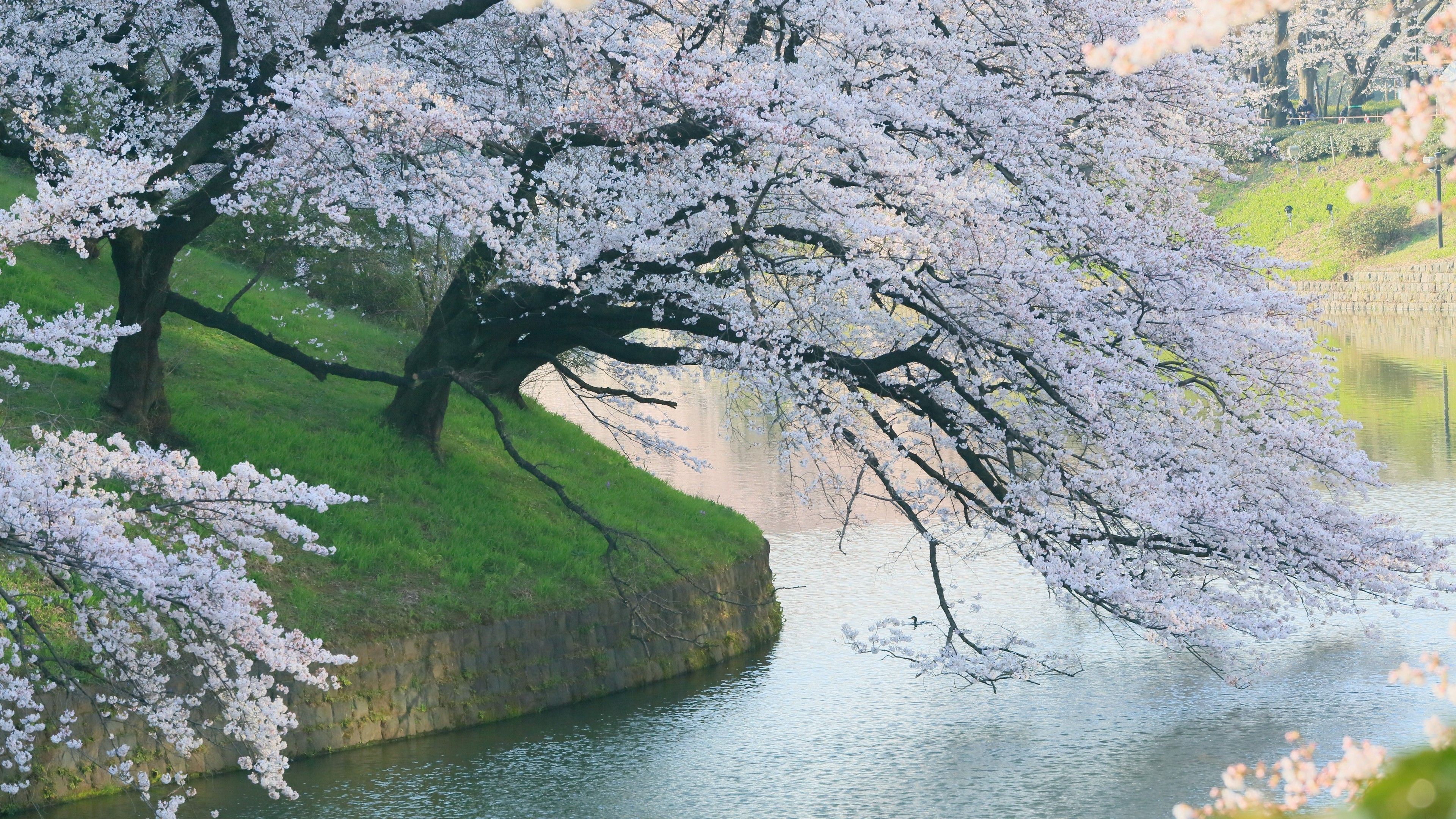 Japanese Cherry Blossom Tree Wallpapers Top Free Japanese Cherry