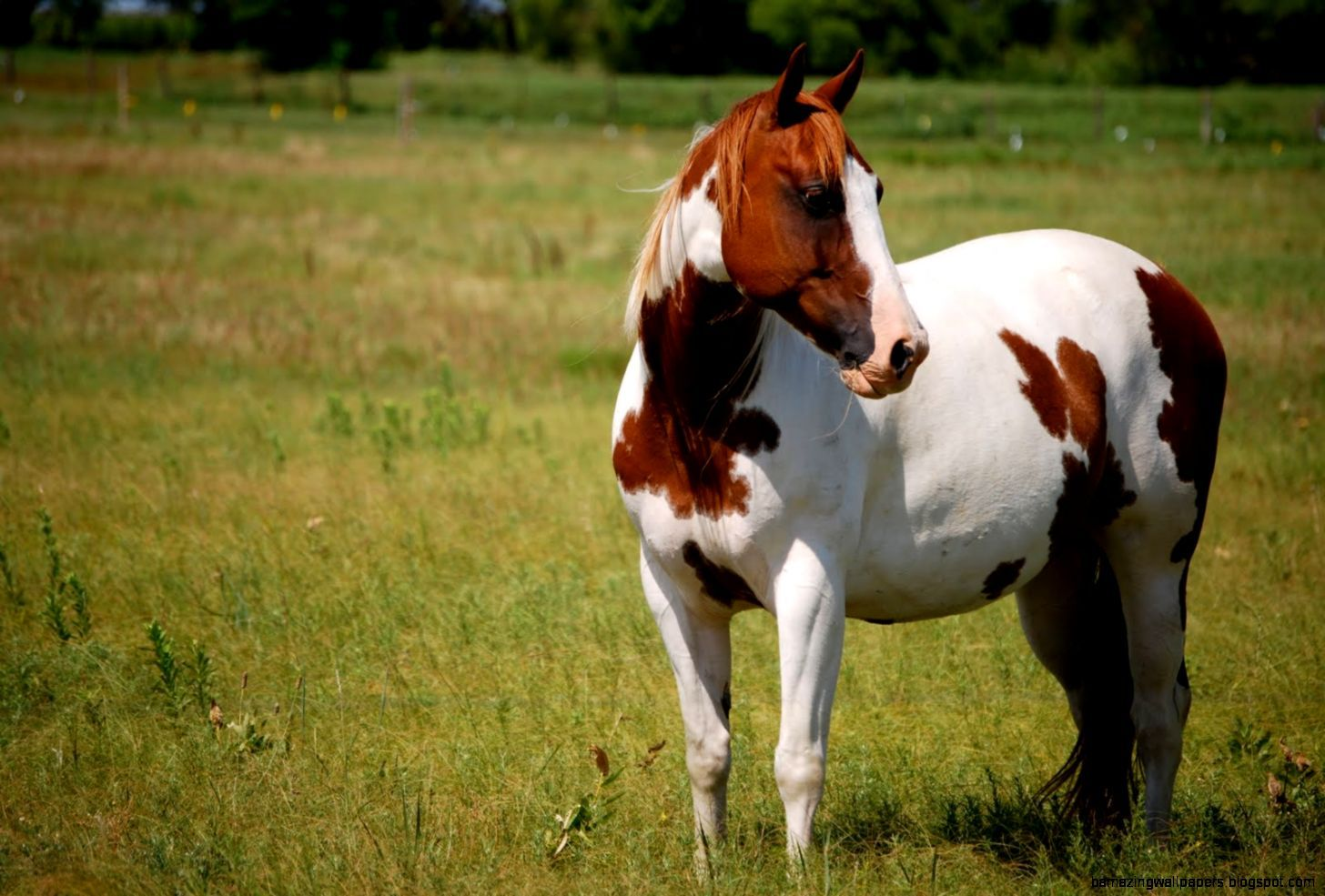 Paint Horse Wallpapers Top Free Paint Horse Backgrounds Wallpaperaccess