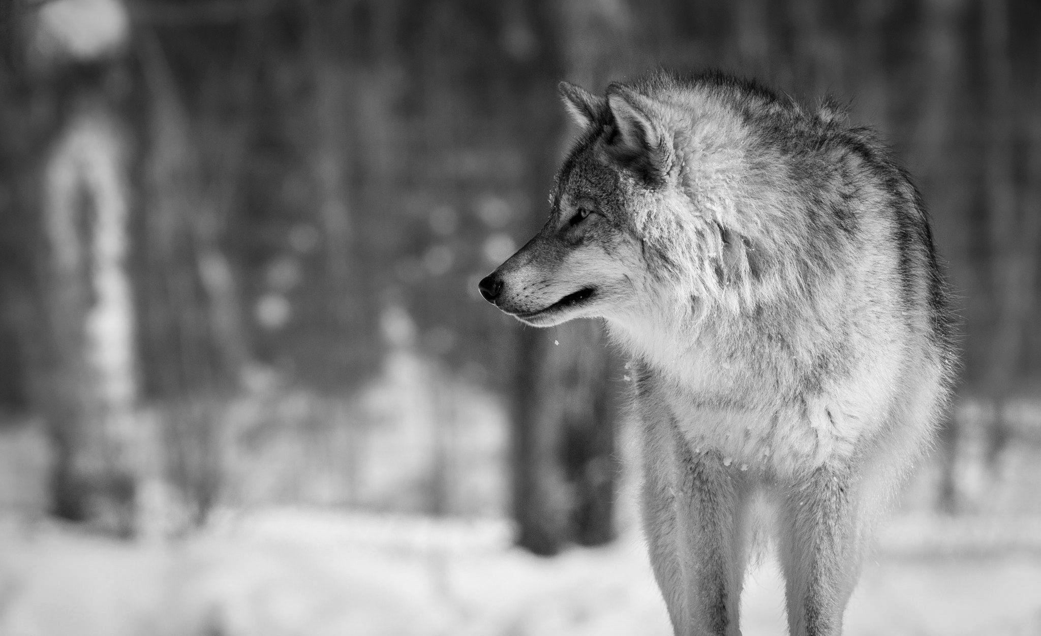 Black Wolf 4K Wallpapers - Top Free Black Wolf 4K ...