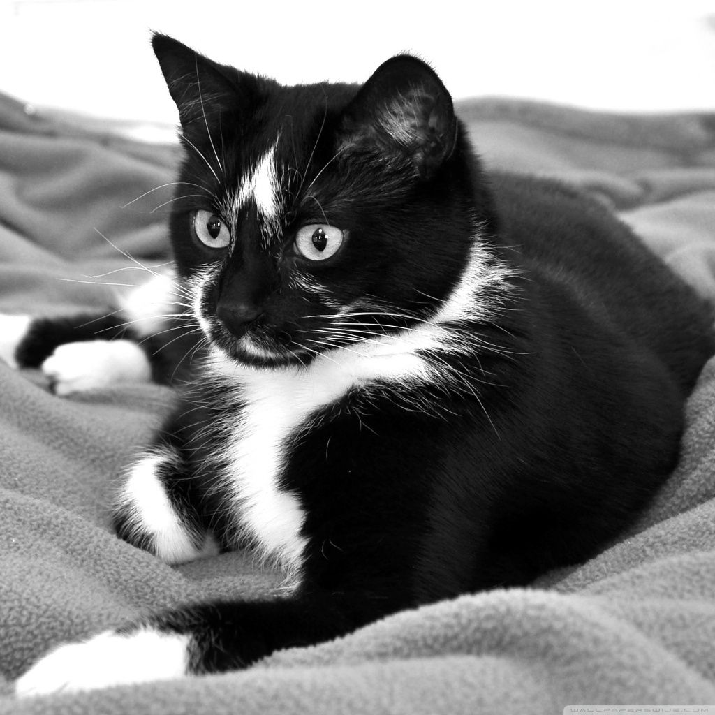 Black And White Cat Hd Wallpapers Top Free Black And White Cat Hd Backgrounds Wallpaperaccess