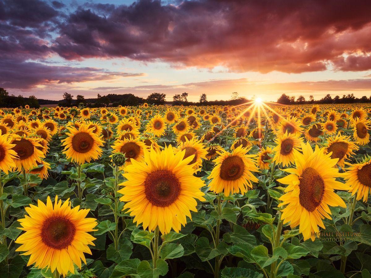Fall Sunflower Desktop Wallpaper - Flowers Healthy