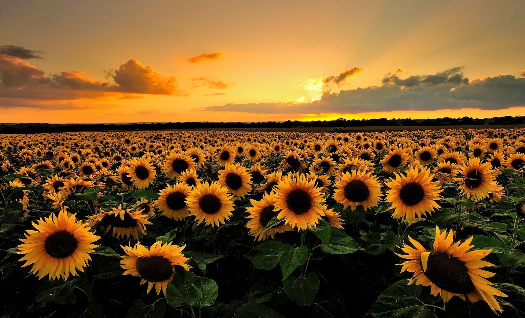 Sunflower Sunset Laptop Wallpapers Top Free Sunflower Sunset Laptop Backgrounds Wallpaperaccess