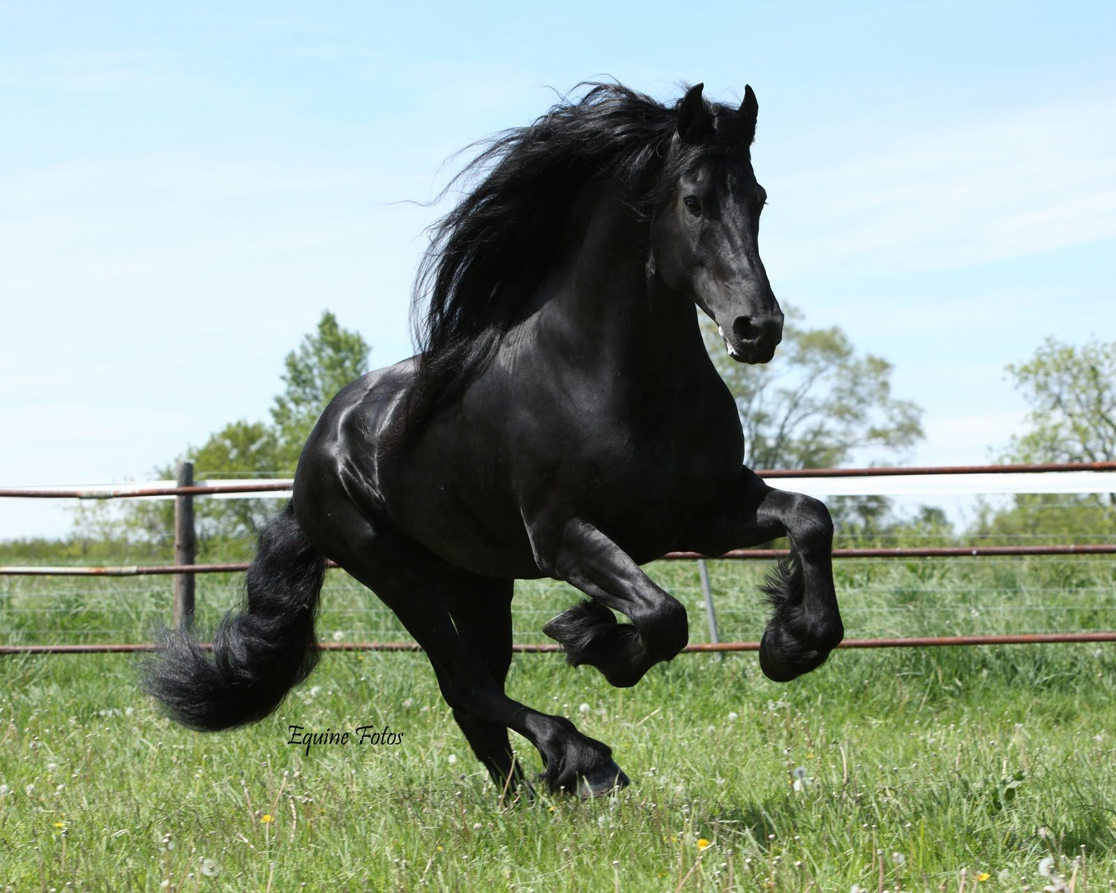 Friesian Horse Wallpapers Top Free Friesian Horse Backgrounds Wallpaperaccess