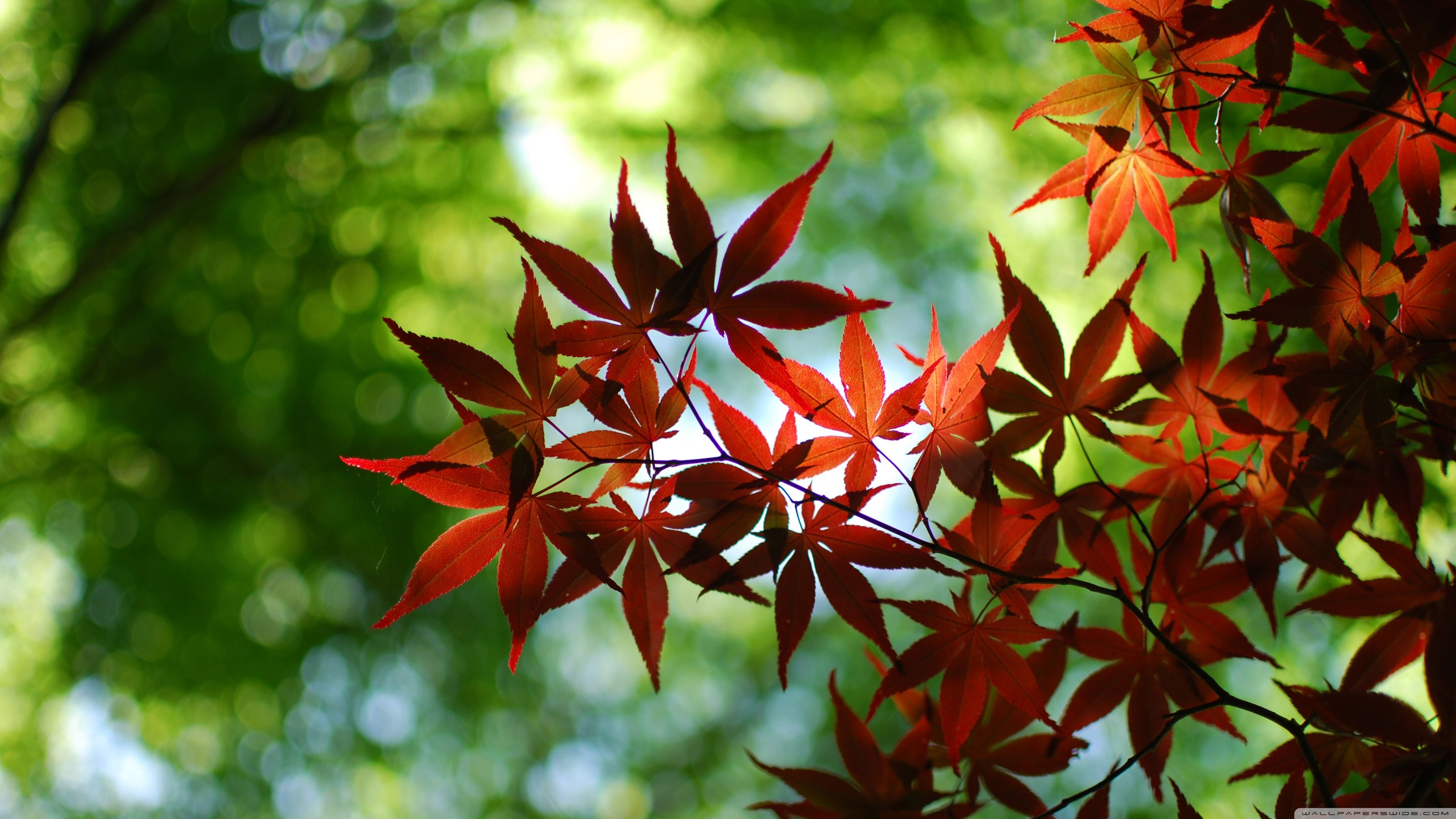 Maple Tree Wallpapers Top Free Maple Tree Backgrounds