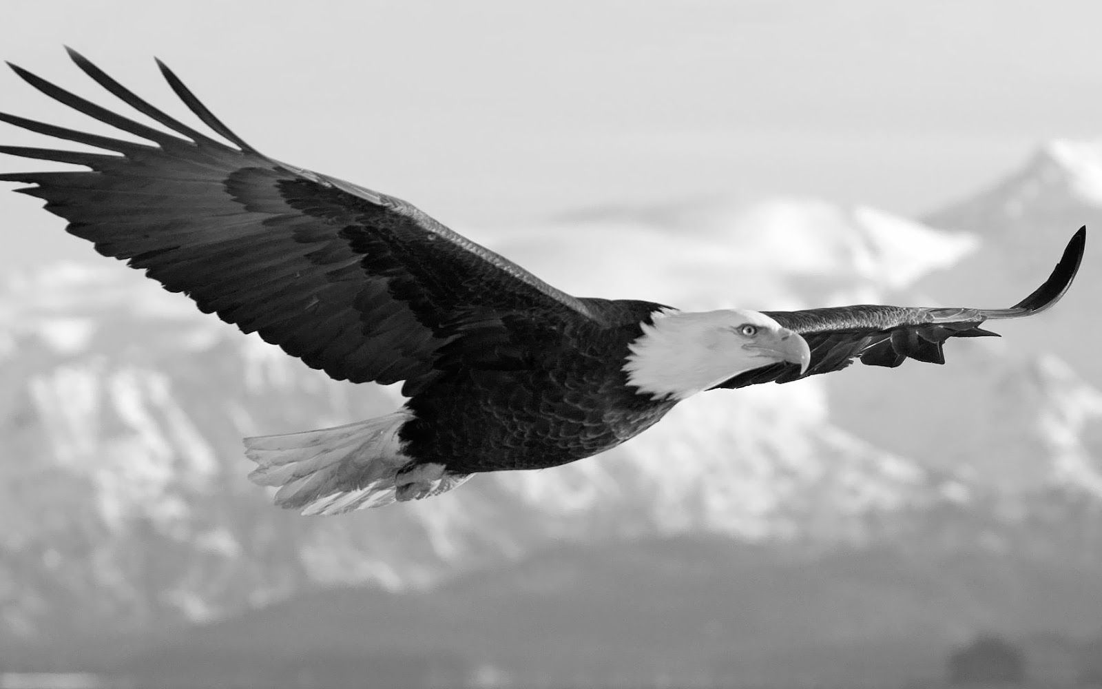 White Eagle Wallpapers Top Free White Eagle Backgrounds Wallpaperaccess