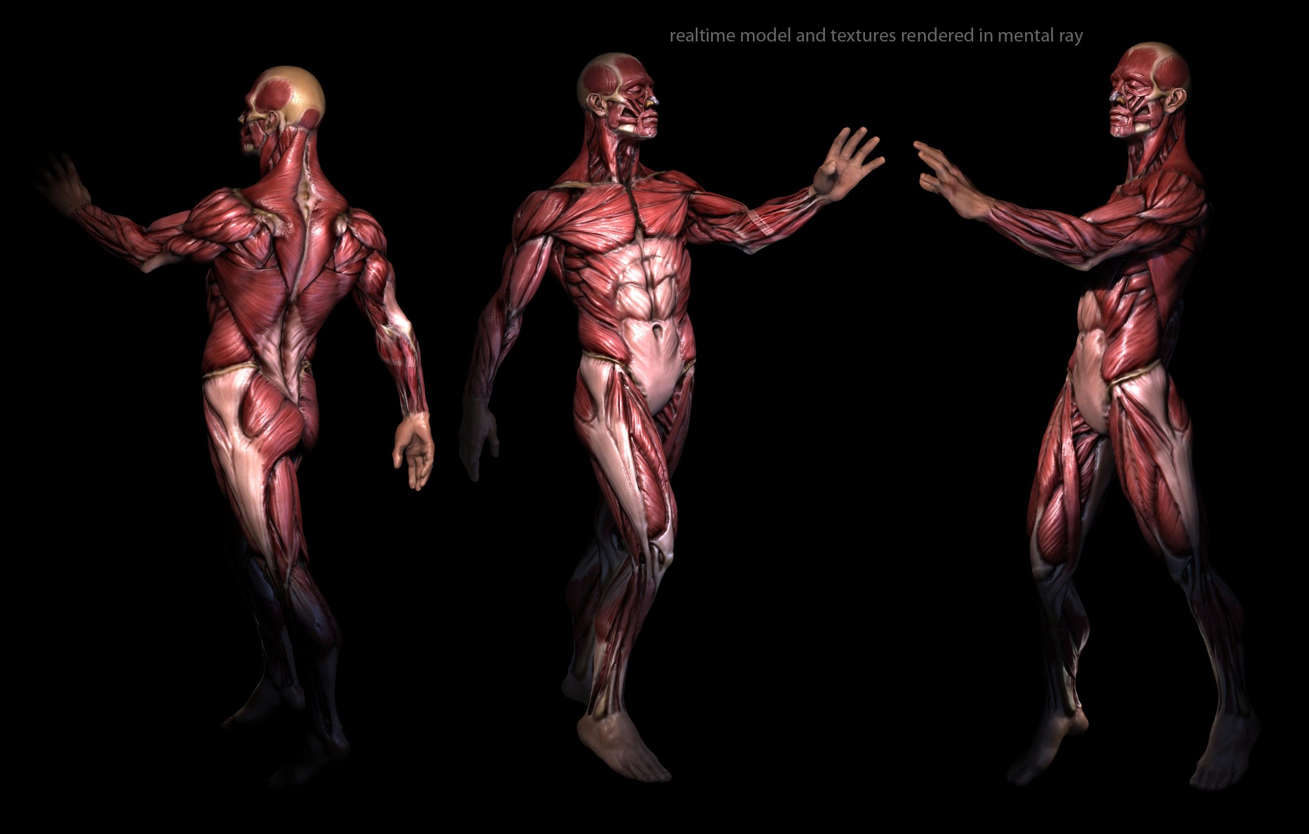 Muscle Anatomy Wallpapers - Top Free Muscle Anatomy Backgrounds - WallpaperAccess