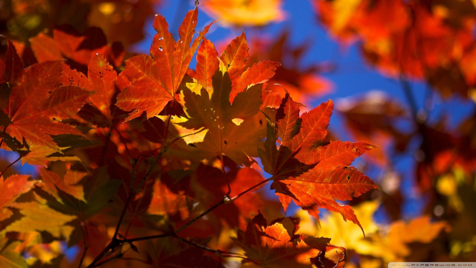 Fall Leaf Wallpapers Top Free Fall Leaf Backgrounds