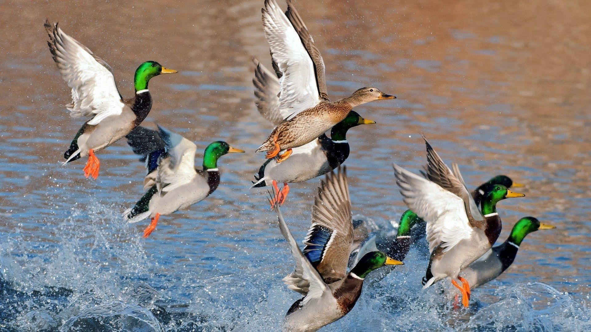 Duck Hunting Desktop Wallpapers - Top