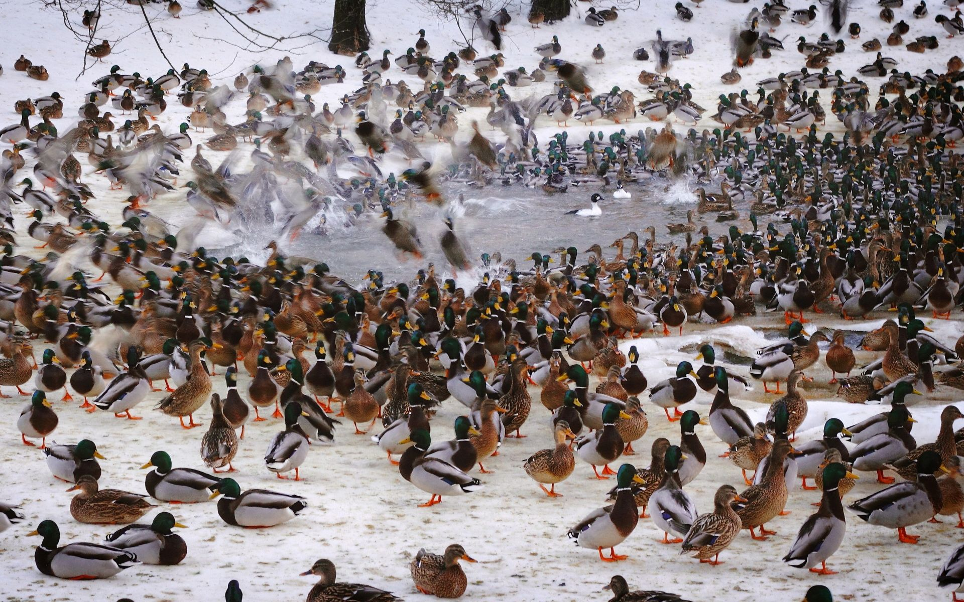 1600x1200 Waterfowl Wallpapers Group 43