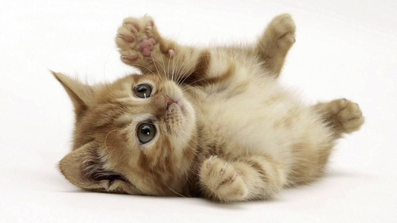 Hình nền mèo dễ thương 1280x720 HD