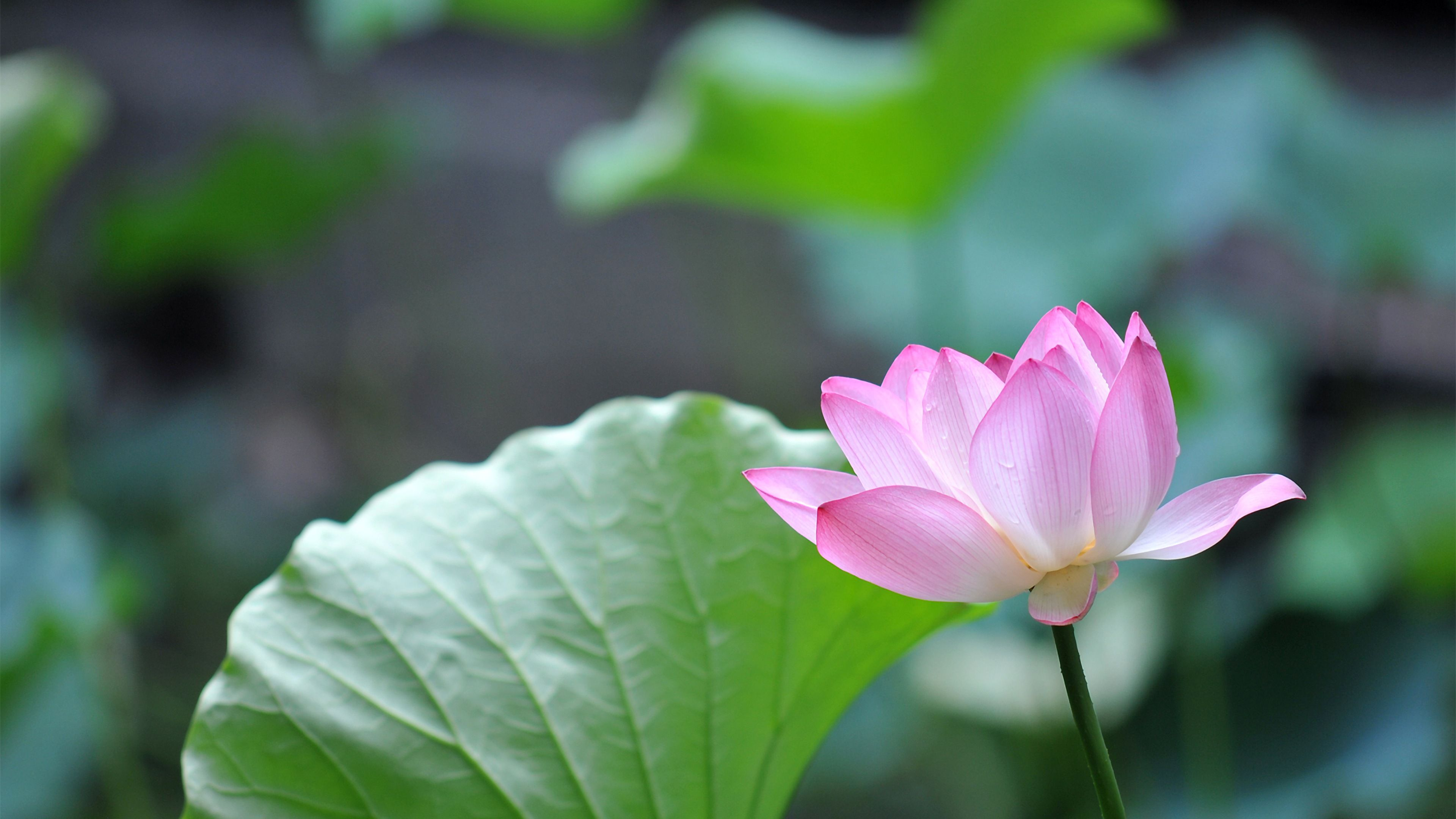 View Lotus Flower Computer Background PNG