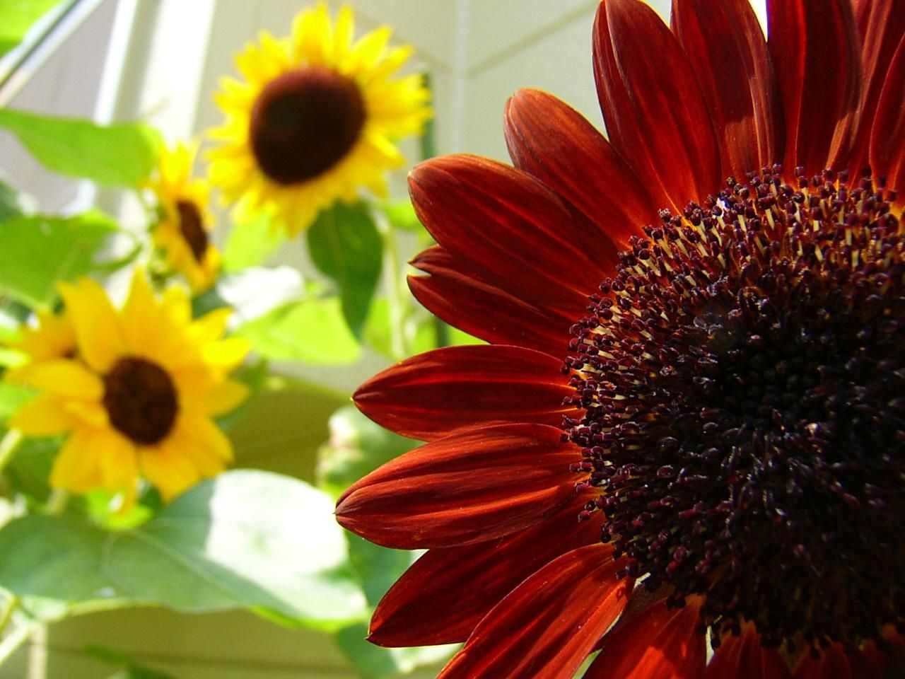 Red Sunflower Wallpapers - Top Free Red Sunflower ...