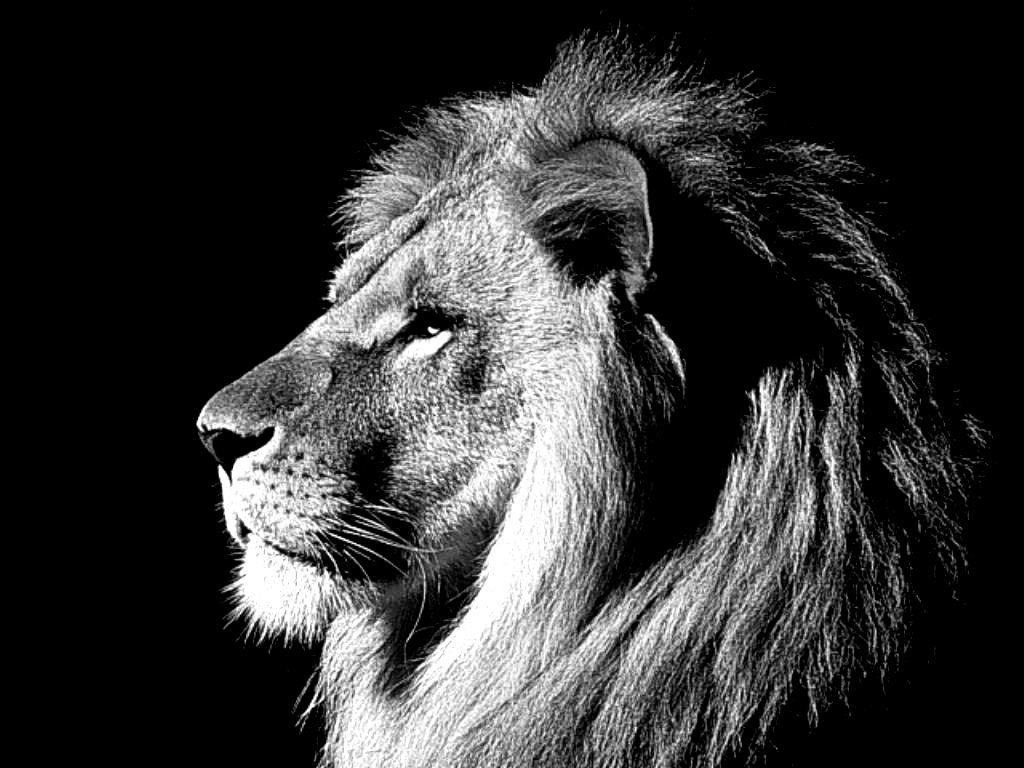 Black Lion Hd Wallpapers Top Free Black Lion Hd Backgrounds Wallpaperaccess