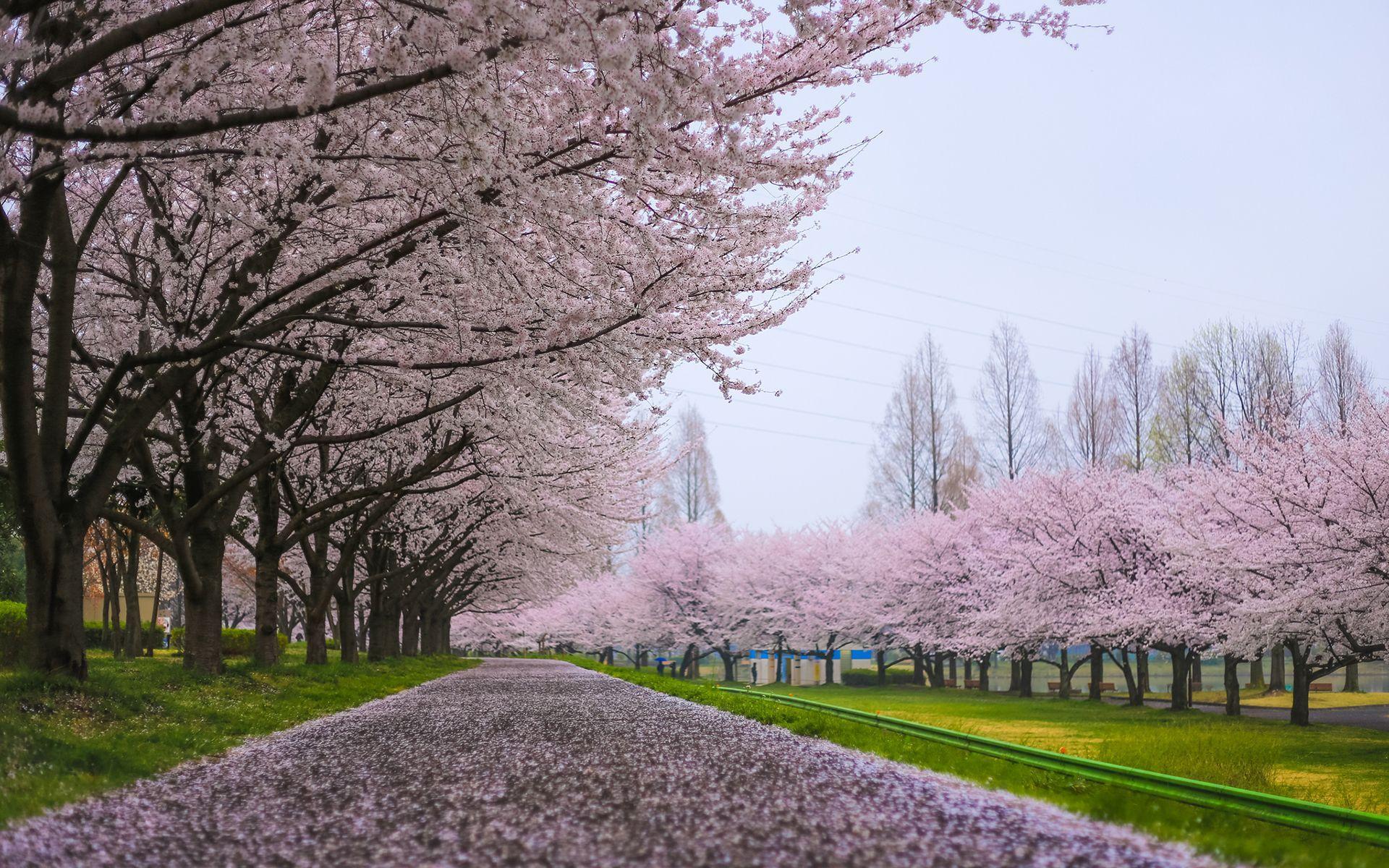 Cherry Blossom Tree Wallpapers Top Free Cherry Blossom Tree