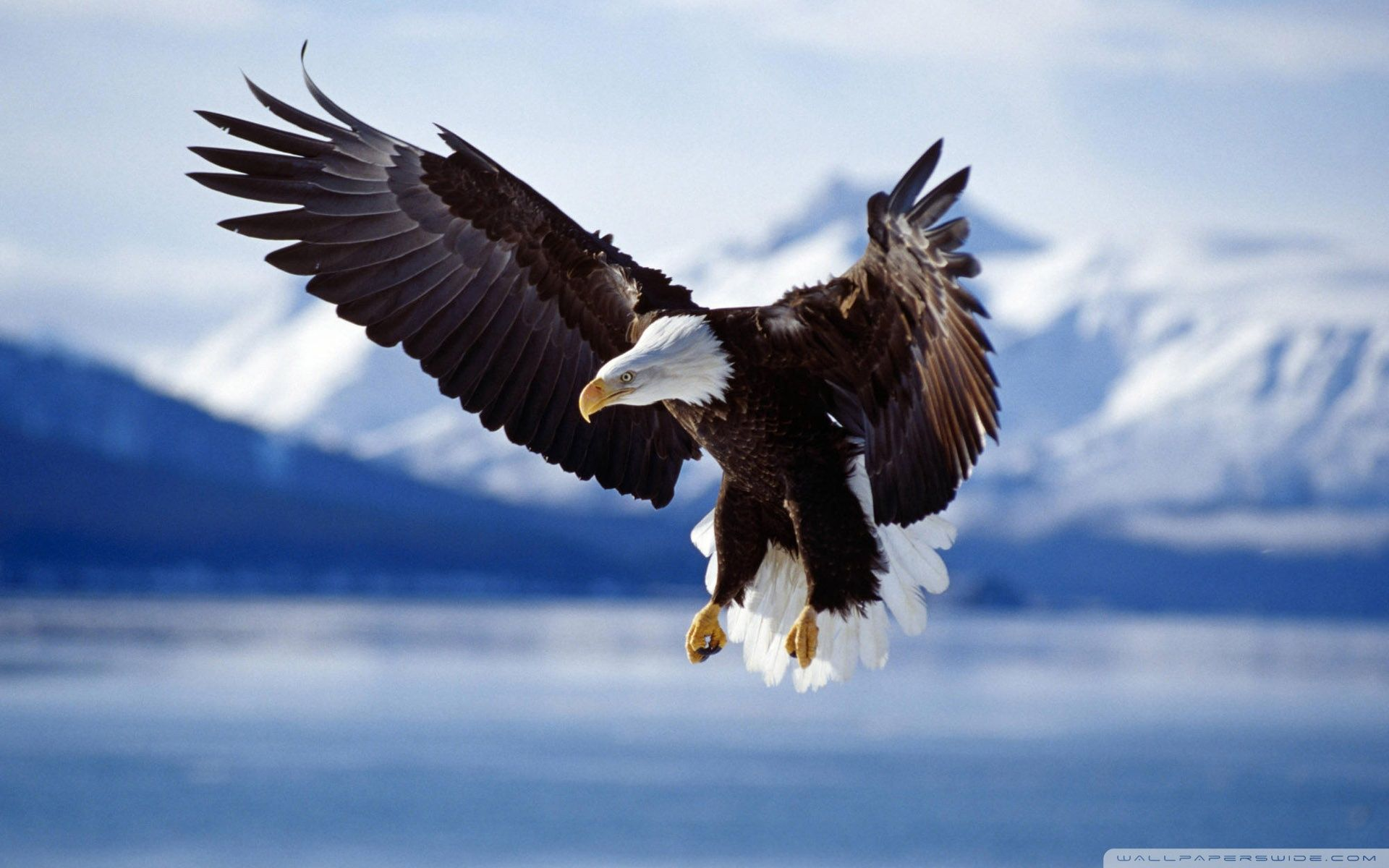 Eagles 4k Ultra Hd Wallpapers Top Free Eagles 4k Ultra Hd Backgrounds Wallpaperaccess