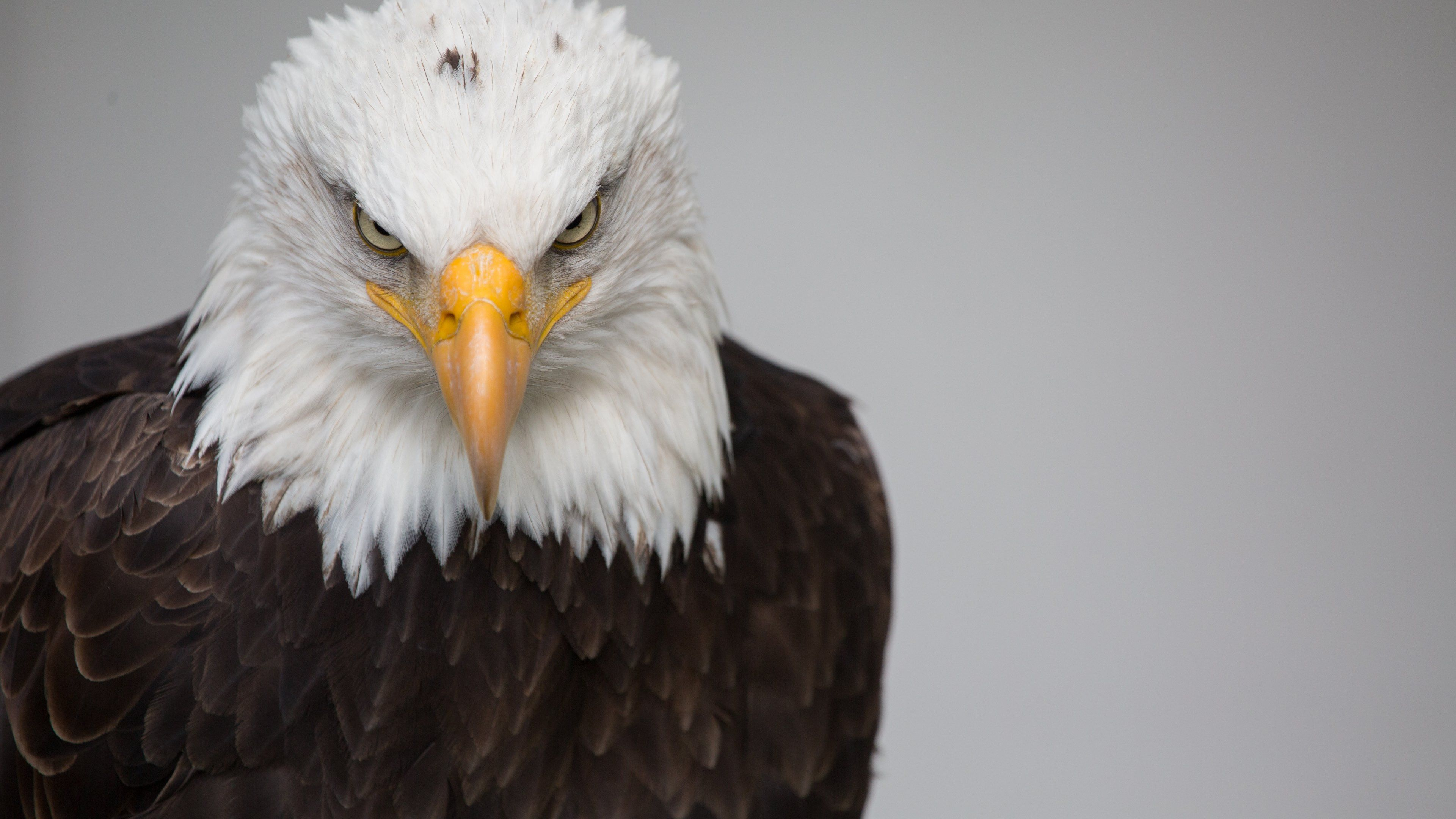 4k Eagle Wallpapers Top Free 4k Eagle Backgrounds Wallpaperaccess