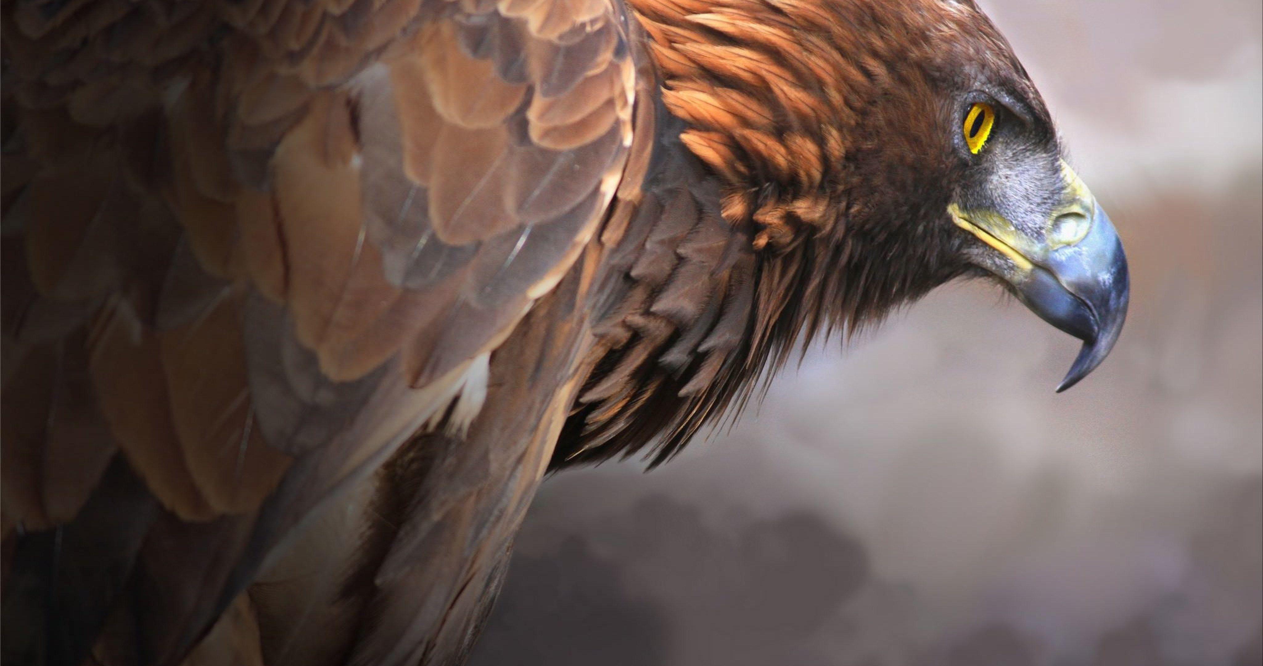 Eagles 4k ultra hd wallpapers top free eagles 4k ultra hd backgrounds wallpaperaccess - 4096x2160 wallpaper ...