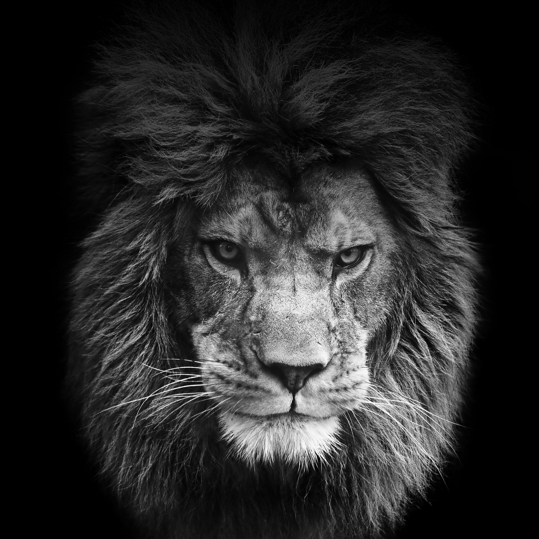 Black Lion 4k Wallpapers Top Free Black Lion 4k Backgrounds Wallpaperaccess