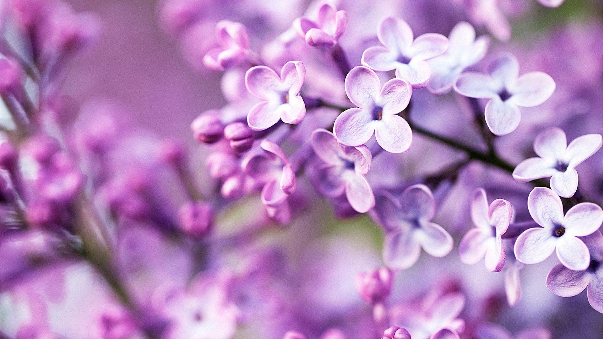 Purple Spring Flowers Desktop ...