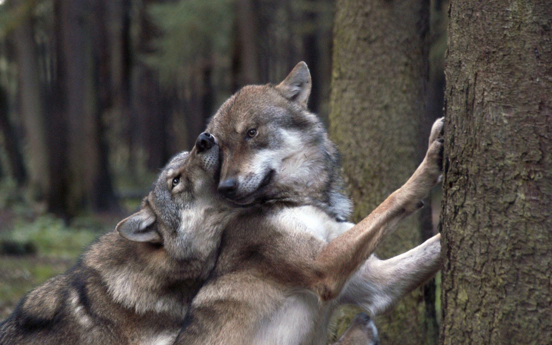 1920x1200 Wolves trong tình yêu - Tải xuống hình nền HD.  Hình nền, hình ảnh, ảnh