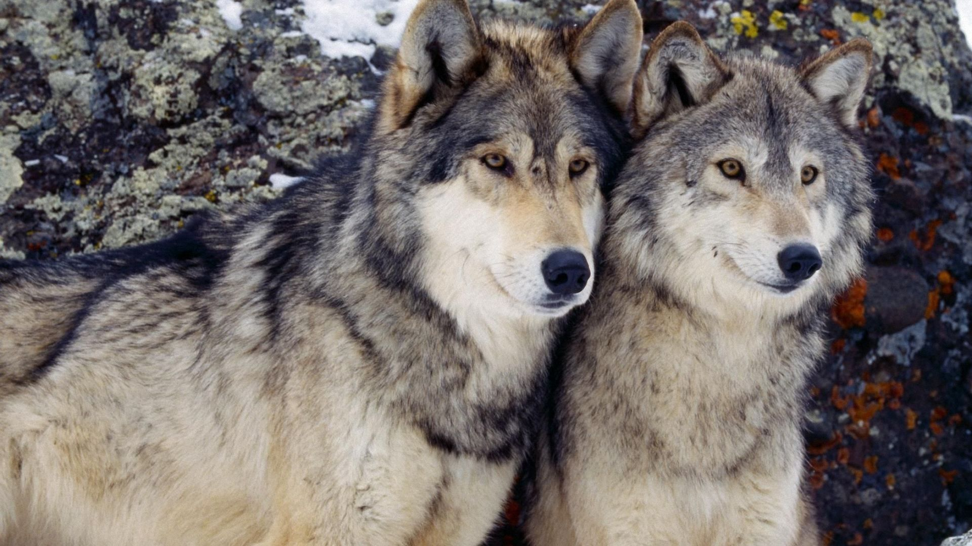 Hình nền chó sói 1920x1080 1920x1080.  Chó sói.  chó sói
