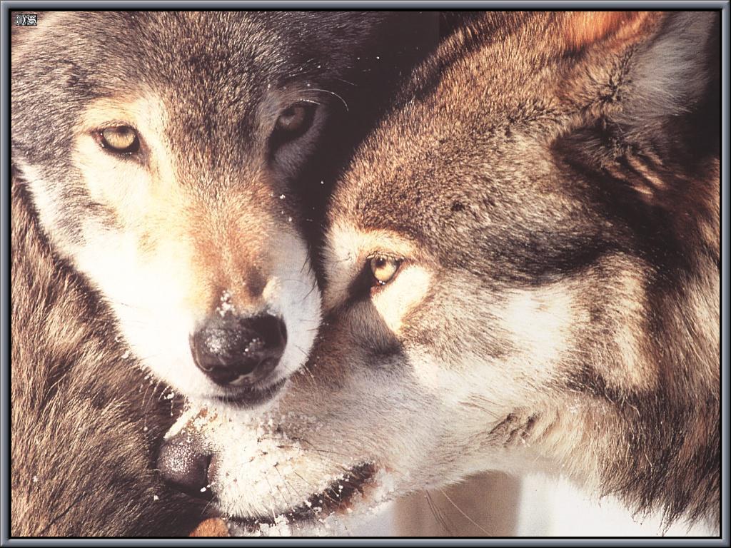 1024x768 WOLF LOVE WALLPAPER - Hình nền HD